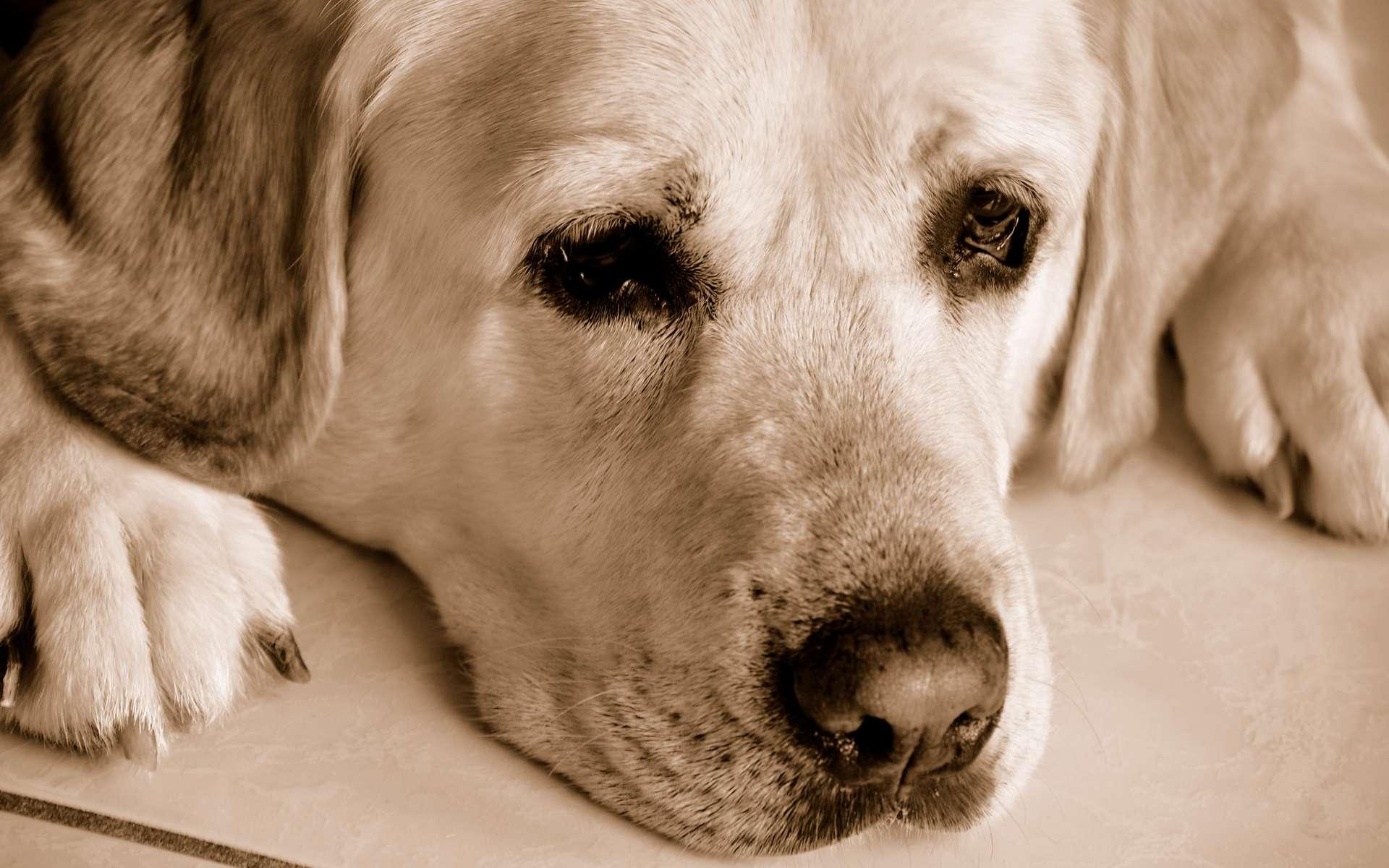 Les trois quarts des chien souffrent de stress et de troubles anxieux. © Randi Deuro, Flickr