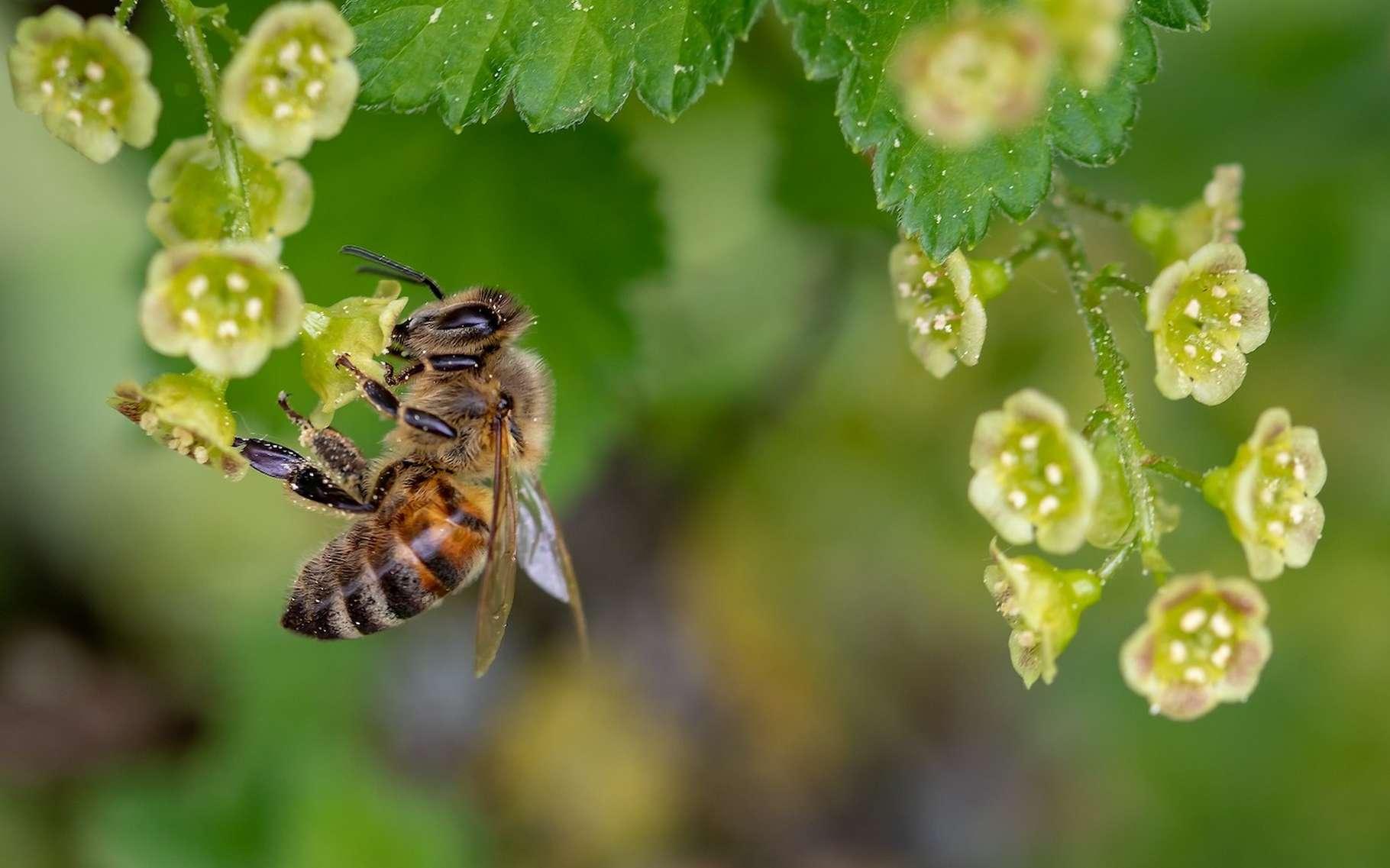 Les abeilles ne cesseront décidément jamais de nous surprendre. D'après des chercheurs, elles sont même capables d'associer symboles et nombres. © Myriams-Fotos, Pixabay License