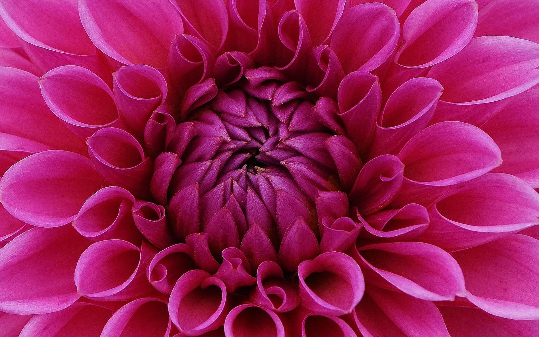 Dahlia, cœur de fleur violet. © Alexas_fotos, Pixabay, DP