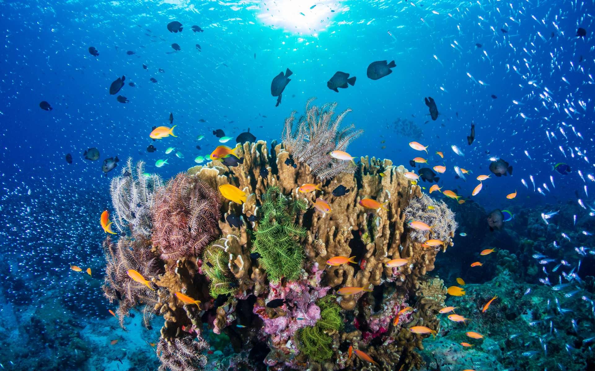 Un nouveau récif corallien a été découvert en Australie, le premier depuis 120 ans. © whitcomberd, Adobe Stock