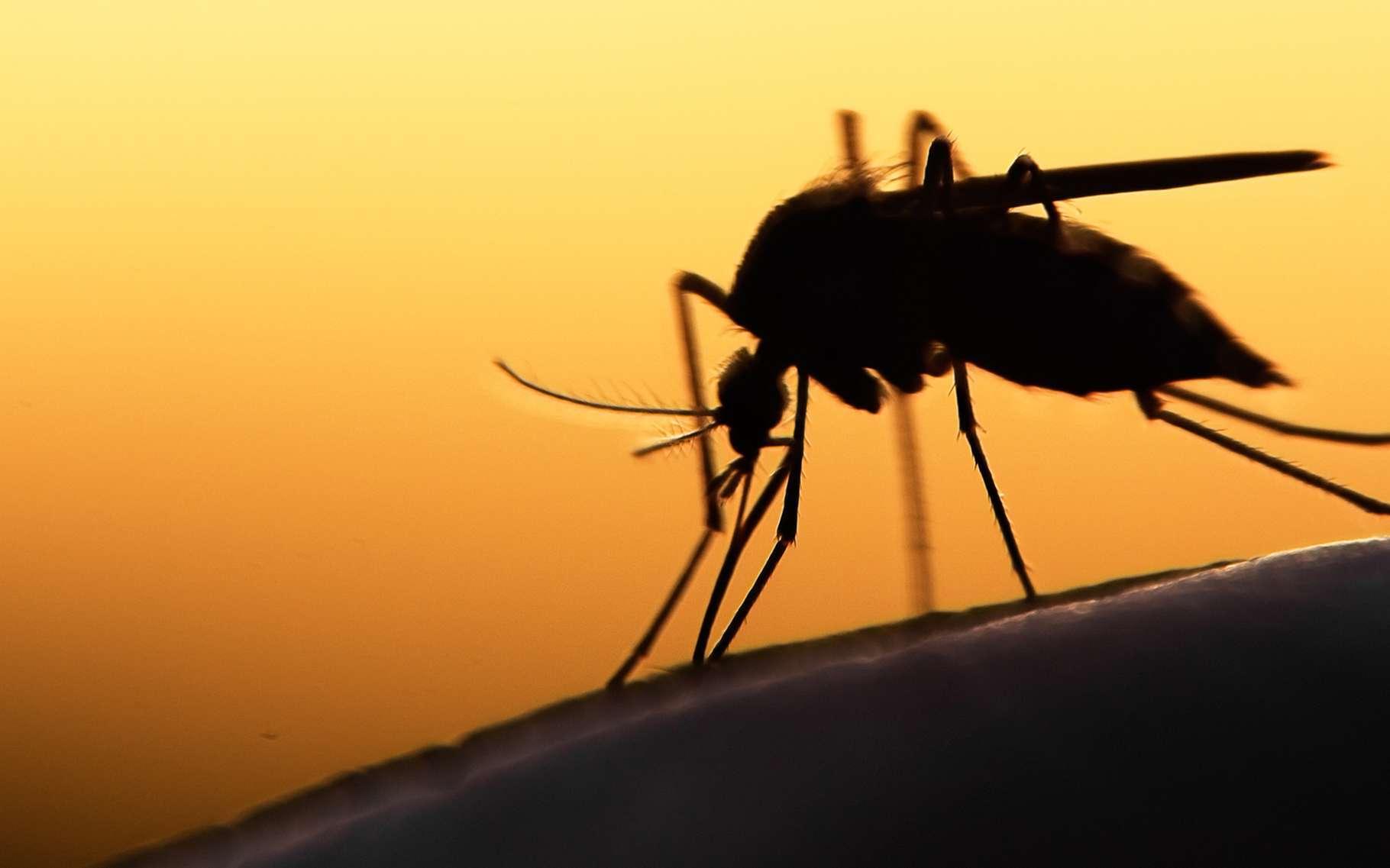 La plupart des espèces de moustiques sont nocturnes. © mycteria, Shutterstock