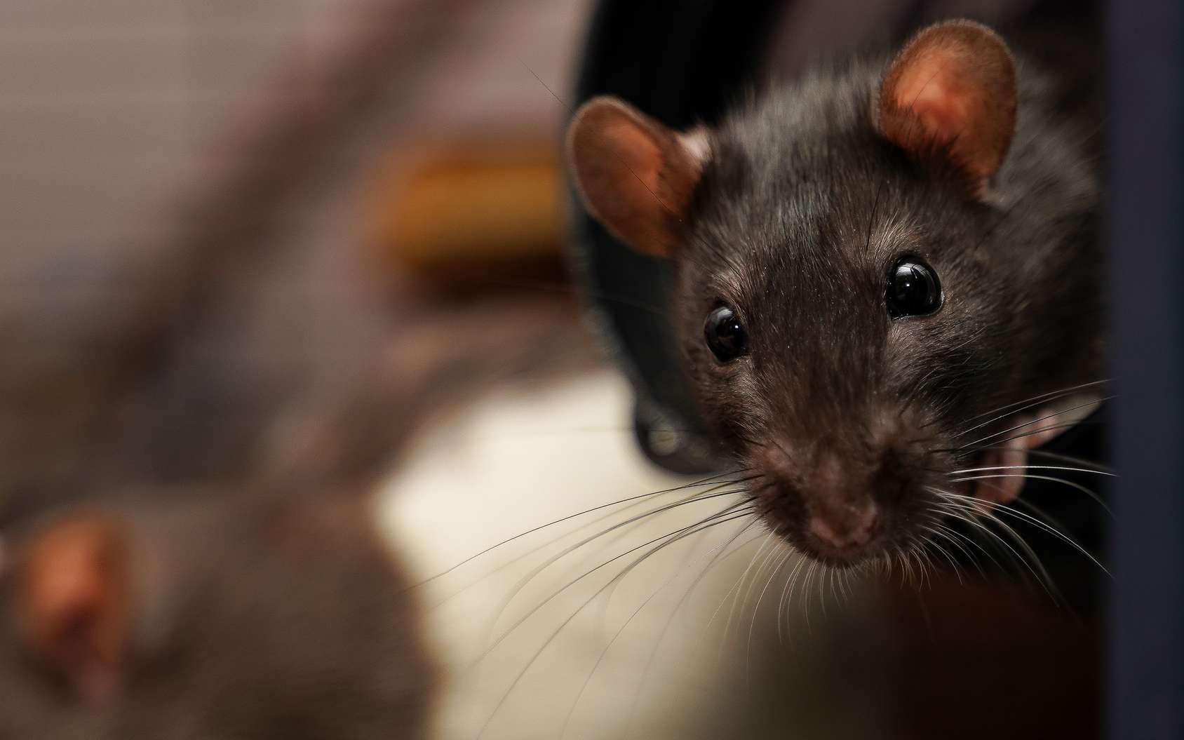 Les rats sont joueurs et aiment les câlins. © Jimmy, Fotolia