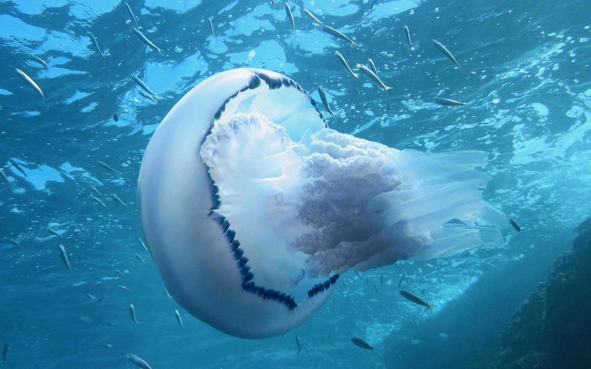 Il y aurait 150 millions de piqûres de méduse chaque année dans le monde. Et beaucoup de conseils contradictoires pour les soulager. © Vilainecrevette, Shutterstock