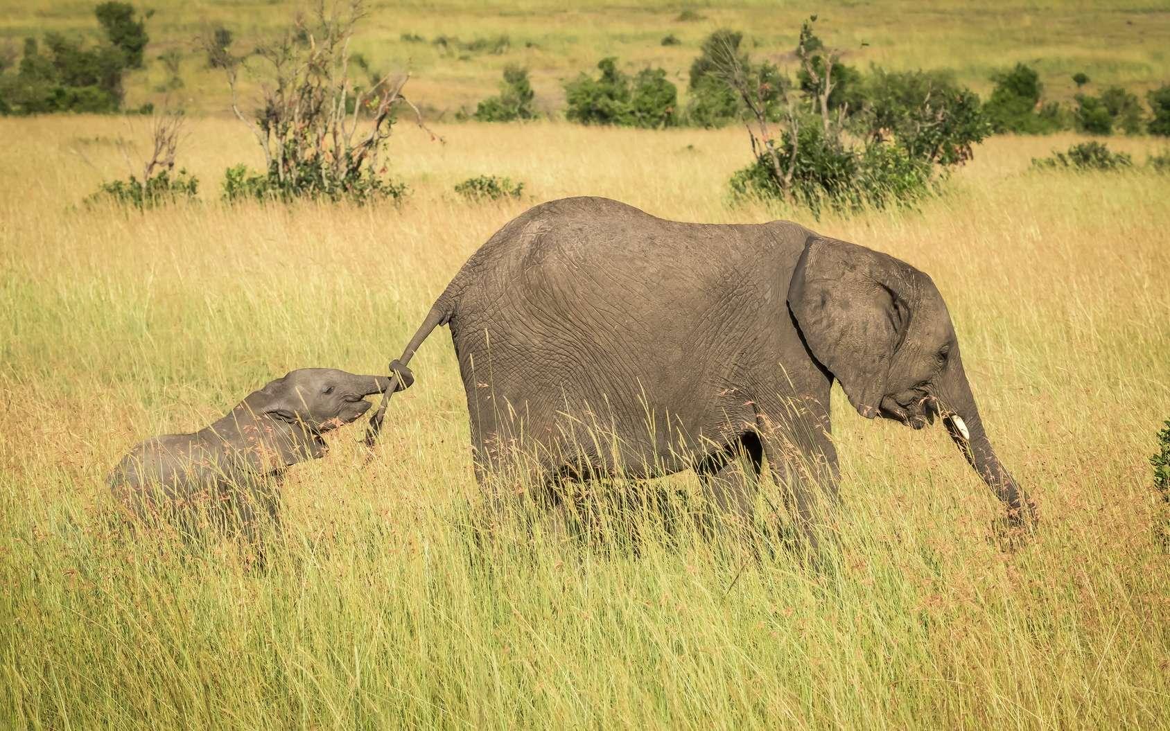 La femelle met bas un petit tous les quatre ans environ. © jody, fotolia