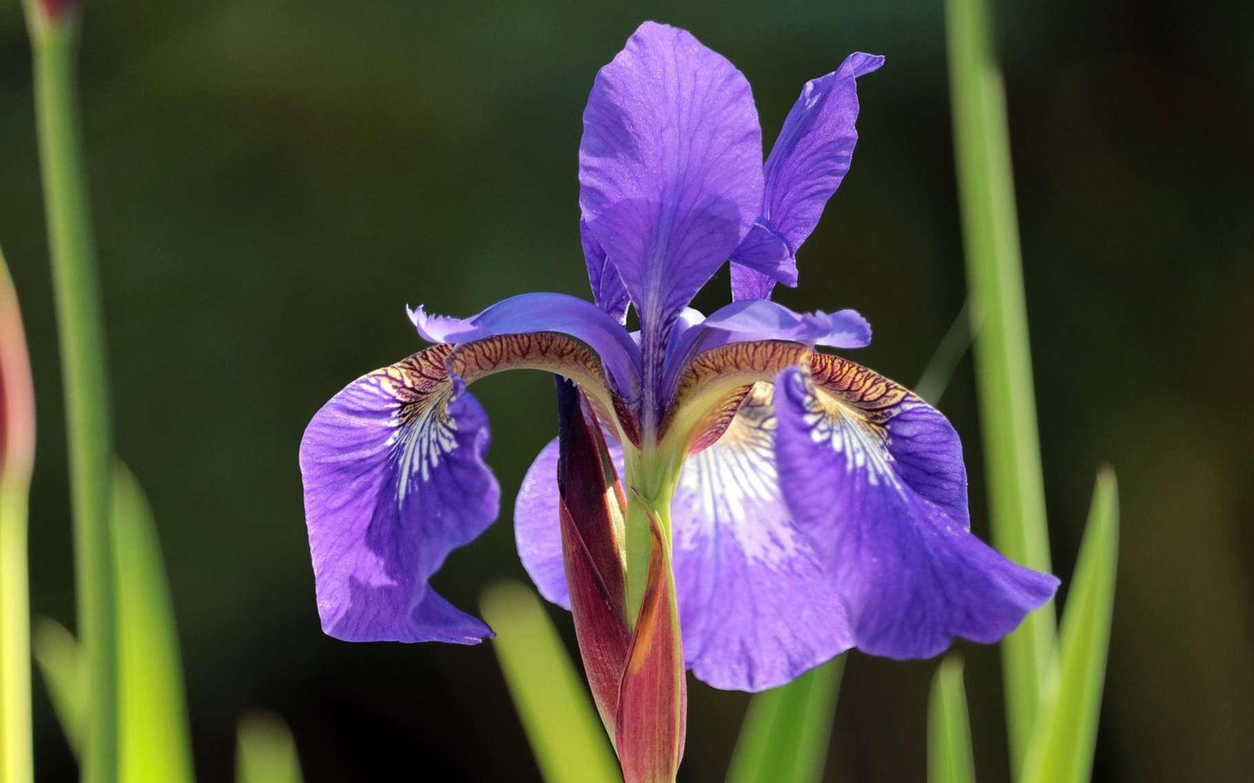 L'iris dont la palette de couleurs est irrésistible. © Pixel2013, Pixabay, DP