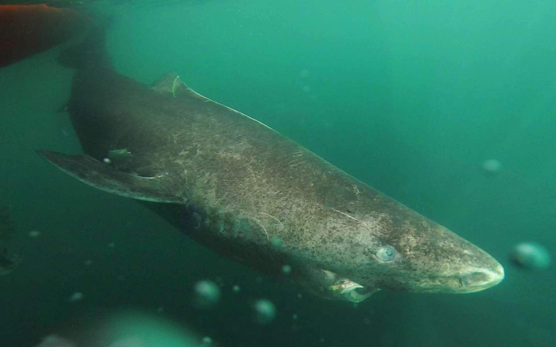 Le requin du Groenland, qui vit dans les eaux froides de l'Arctique et remonte rarement vers la surface, est très mal connu. C'est un des grands prédateurs de ces régions. © Julius Nielsen, University of Copenhagen