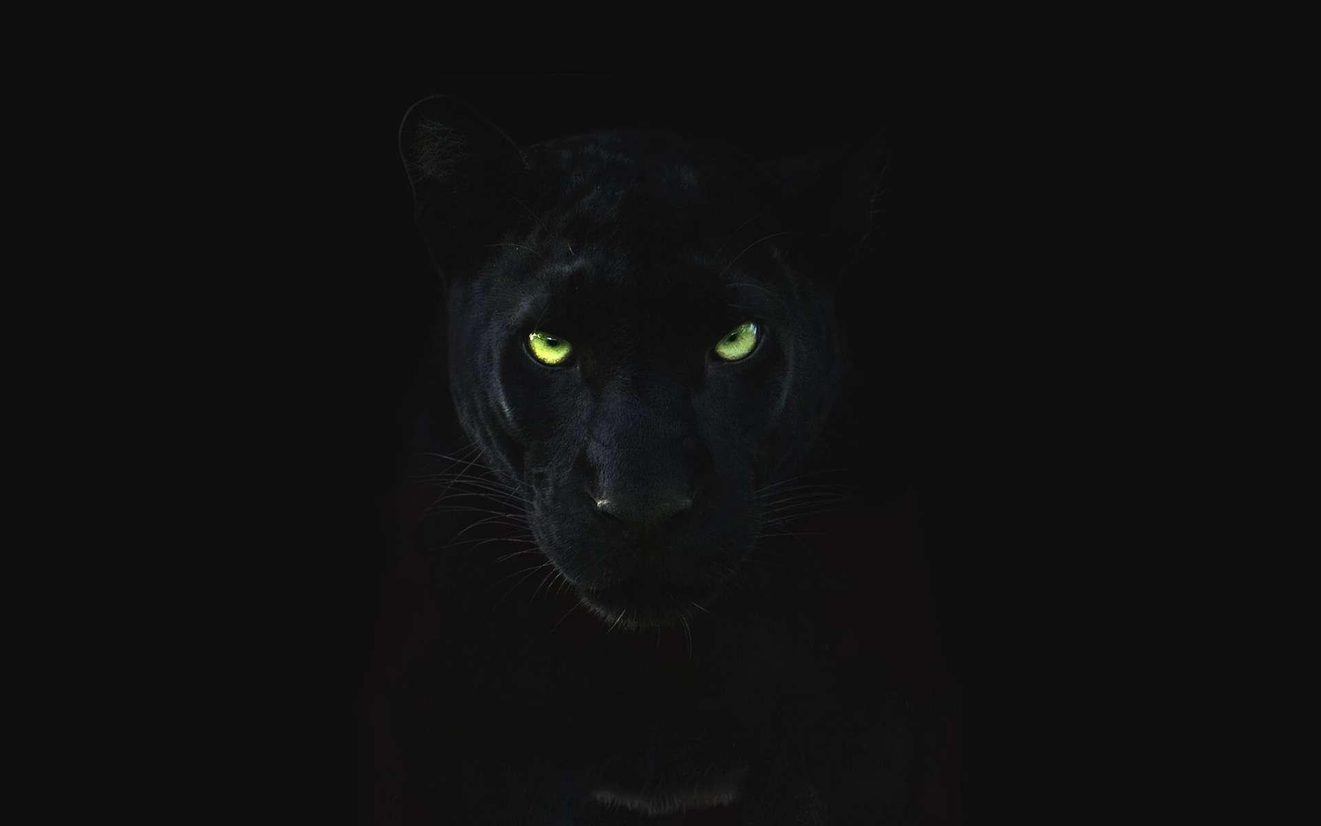 La panthère noire, aussi appelée léopard noir, est un léopard atteint d'une mutation génétique. © National Geographic