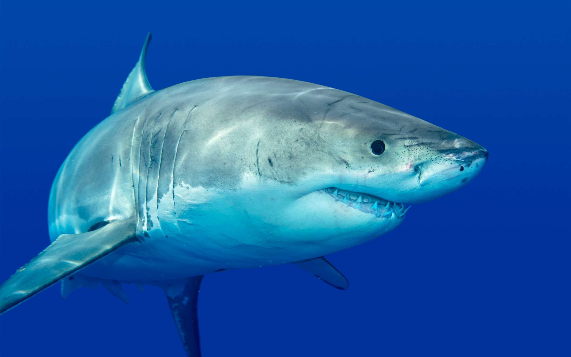 Les orques sont de puissantes créatures, capables de s'en prendre à un grand requin blanc ou même à une baleine. © Steven Surina