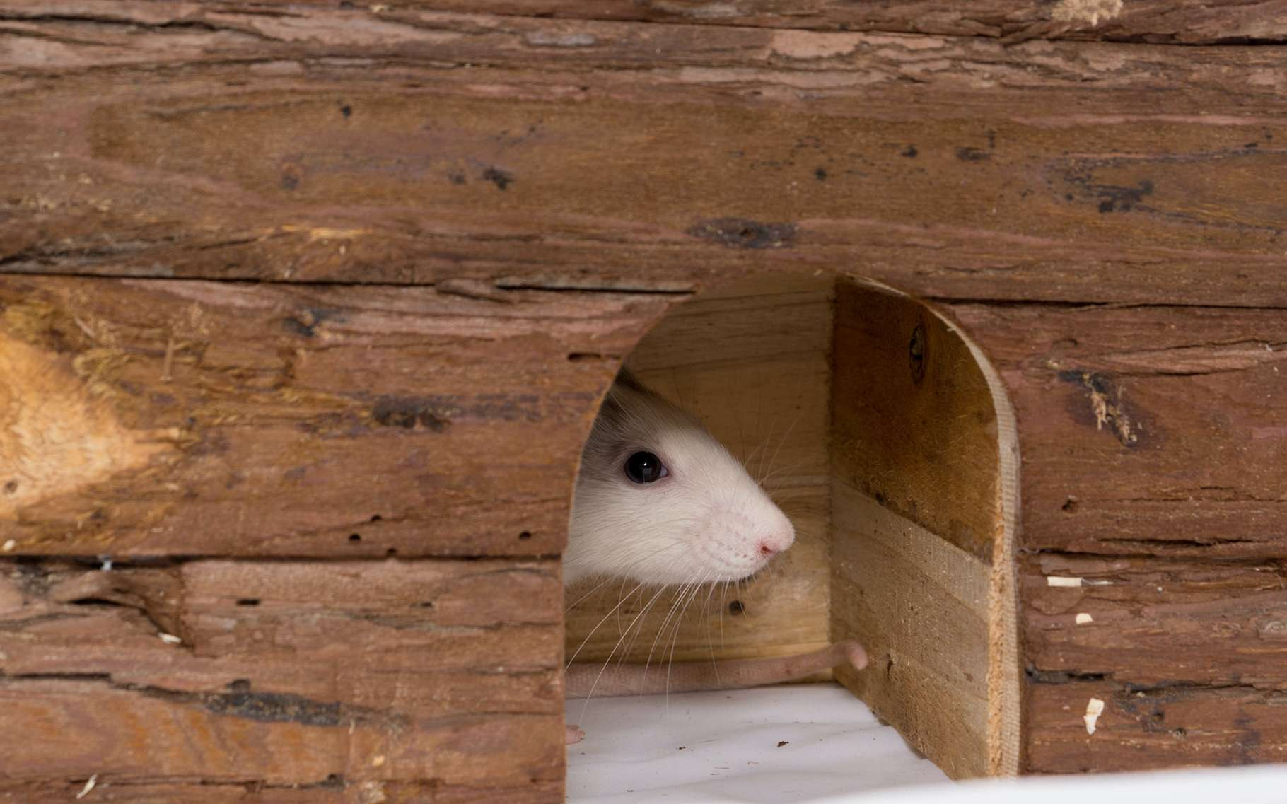 C'est un mal aimé. Pourtant, le rat a plus d'un tour dans son sac. Il est même capable d'apprendre à jouer à cache-cache. Et d'y prendre du plaisir. Pas si bête, le rat ! © Magalice, Adobe Stock