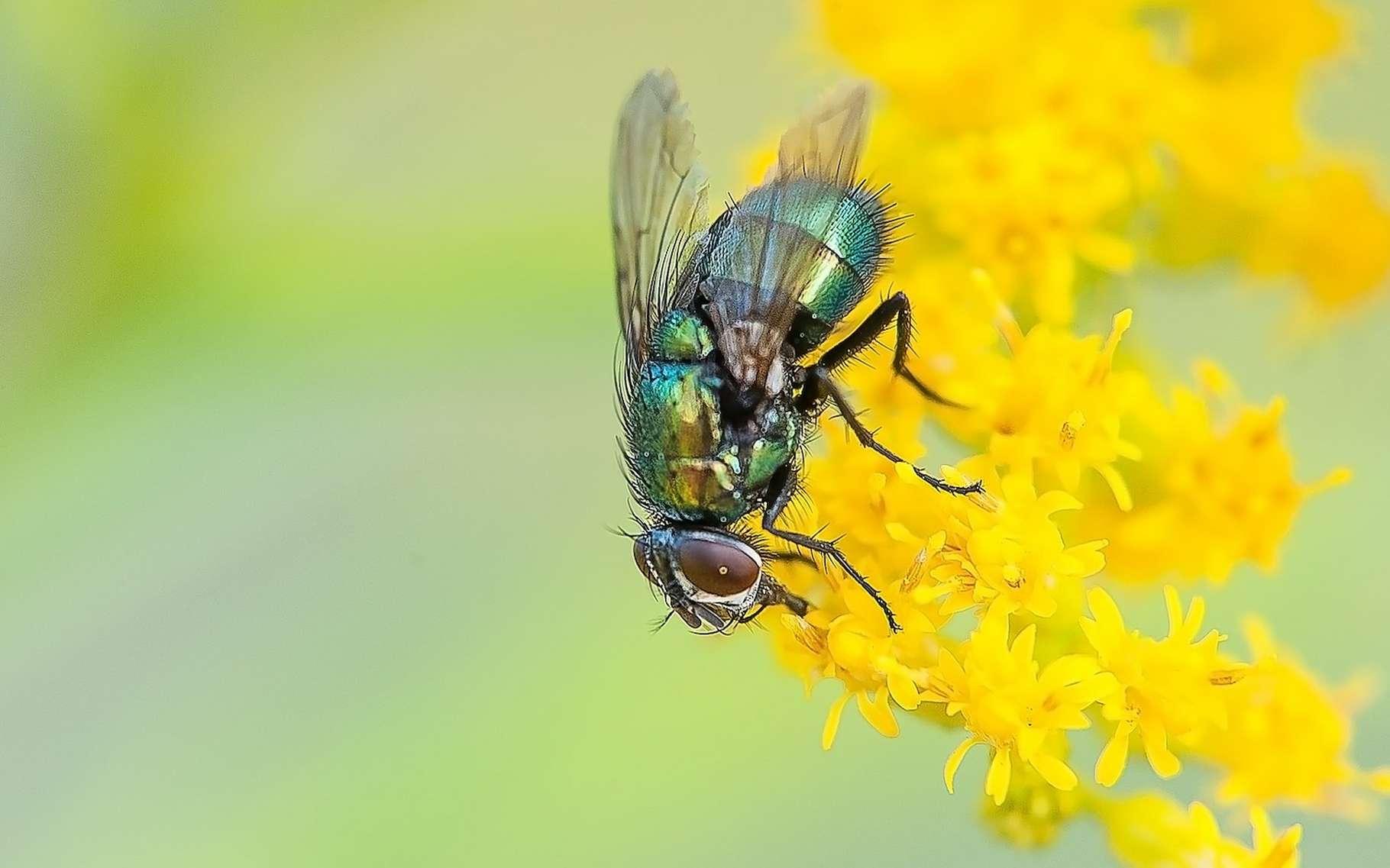 Des chercheurs britanniques ont découvert que la durée de vie de mouches mâles n'est pas impactée par une privation de sommeil. © Nikiko, Pixabay, CC0 Creative Commons