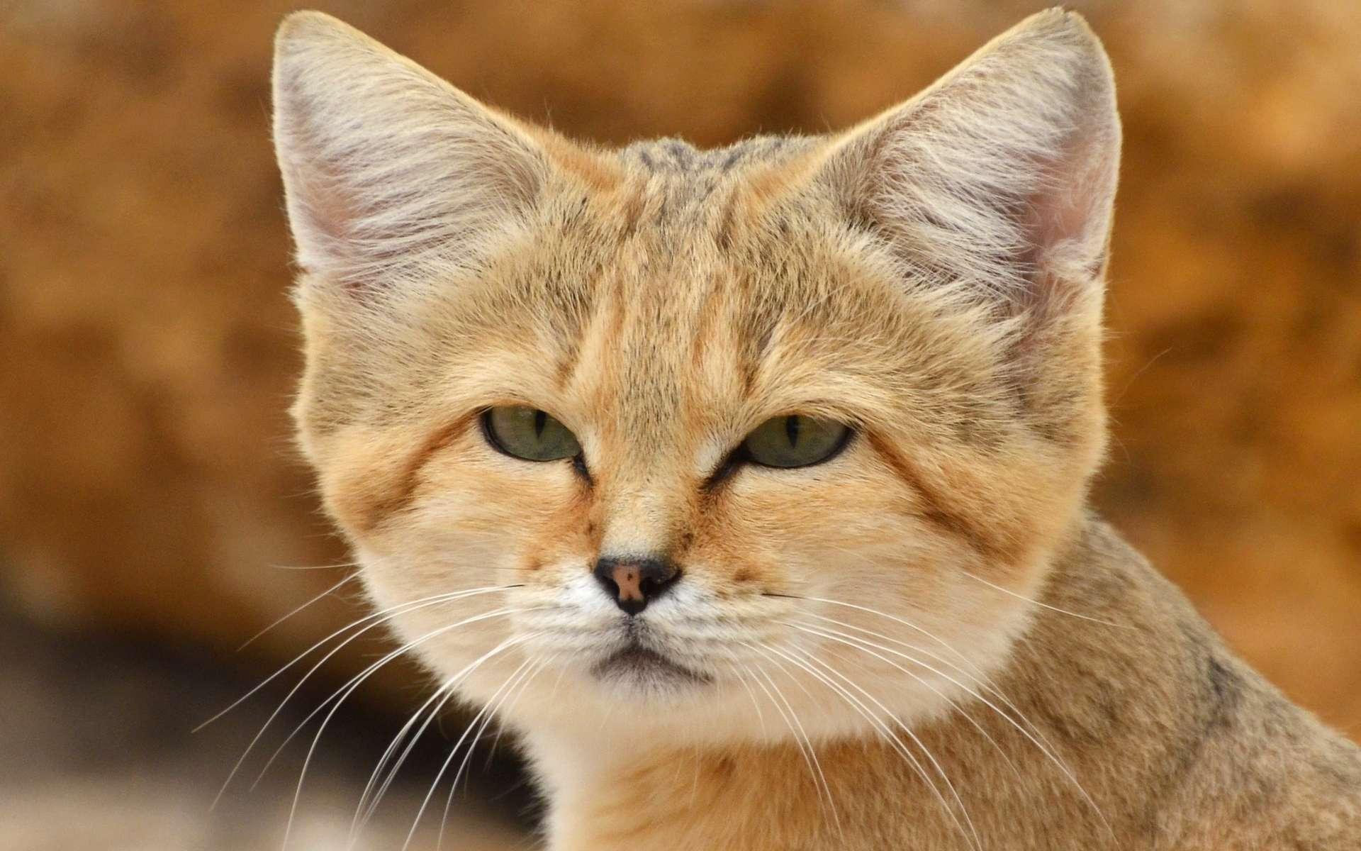 Spécimen de chat des sables (Felis margarita harrisoni). L'espèce est quasi menacée en Afrique et en danger dans les Émirats arabes unis. © Clément Bardot, Wikipédia, CC by-sa 4.0