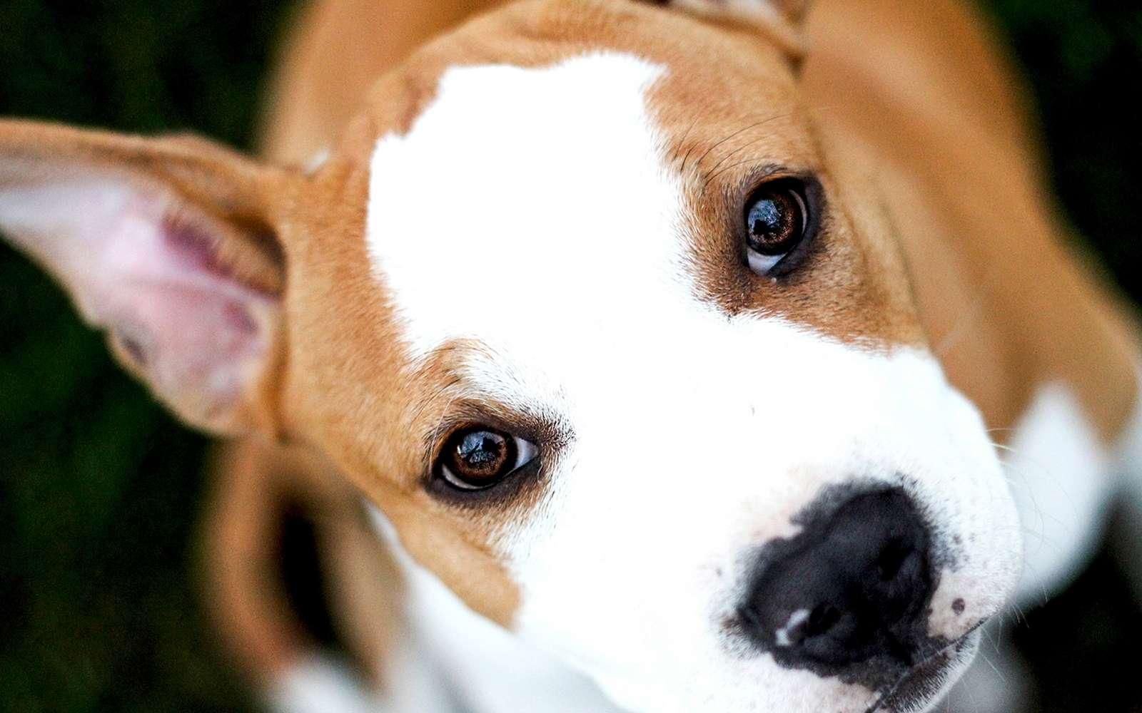 Avec ses oreilles, ses yeux, la position de sa tête et les mouvements de ses babines, ou même de sa mâchoire, un chien sait être expressif pour monter sa colère, sa peur ou son désir d'interaction avec les humains qui lui sont familiers. © AFP