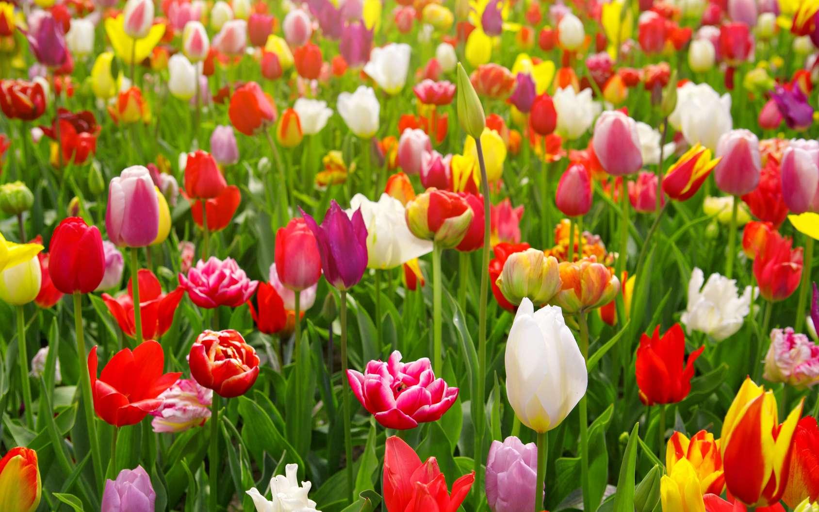 Un champ de tulipes. © Swetlana Wall, Fotolia