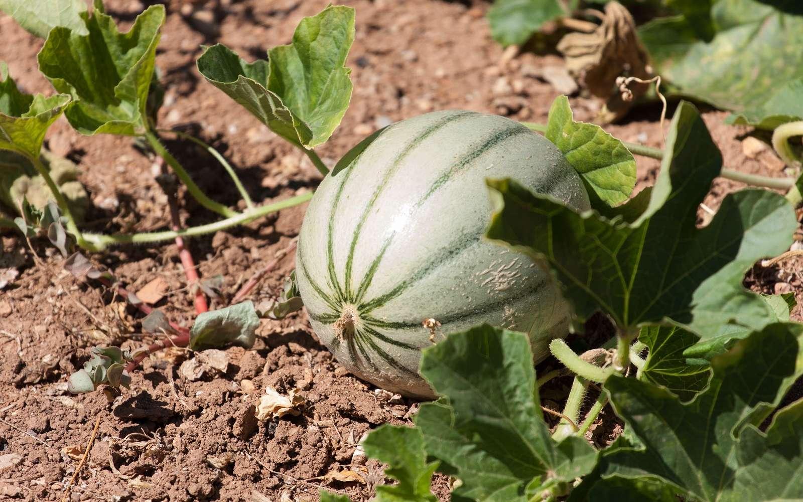 La taille réussie des plants de melons permet d'obtenir de beaux fruits sucrés. © Stéphanie Cointe, Adobe Stock