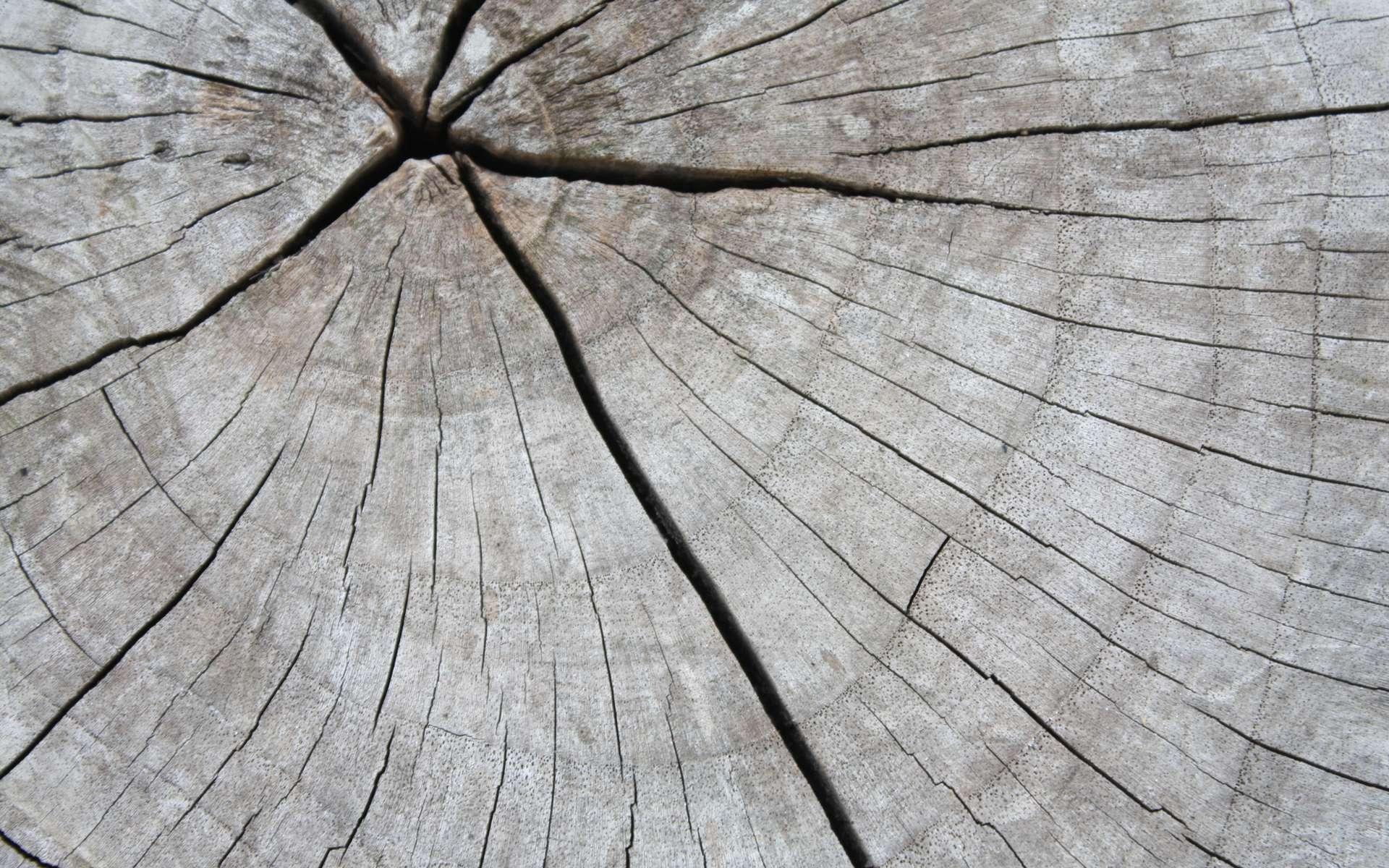 On date l'âge d'un arbre en fonction de ses cernes (dendrochronologies) © amonphan, Fotolia
