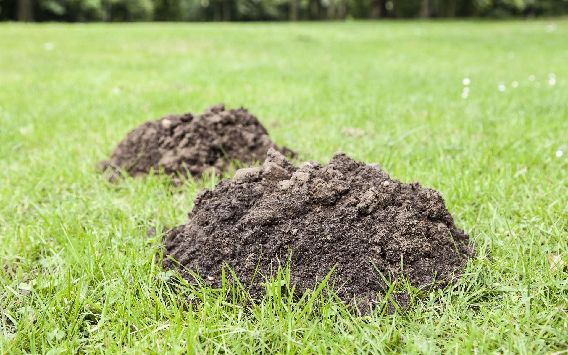 Pour mettre fin aux petits tas de terre faits par une taupe, un détaupeur peut s'avérer nécessaire. Basé sur l'effet de souffle comme celui d'un pétard, le détaupeur est d'une efficacité redoutable contre ce petit mammifère insectivore. © sp4764, Adobe Stock