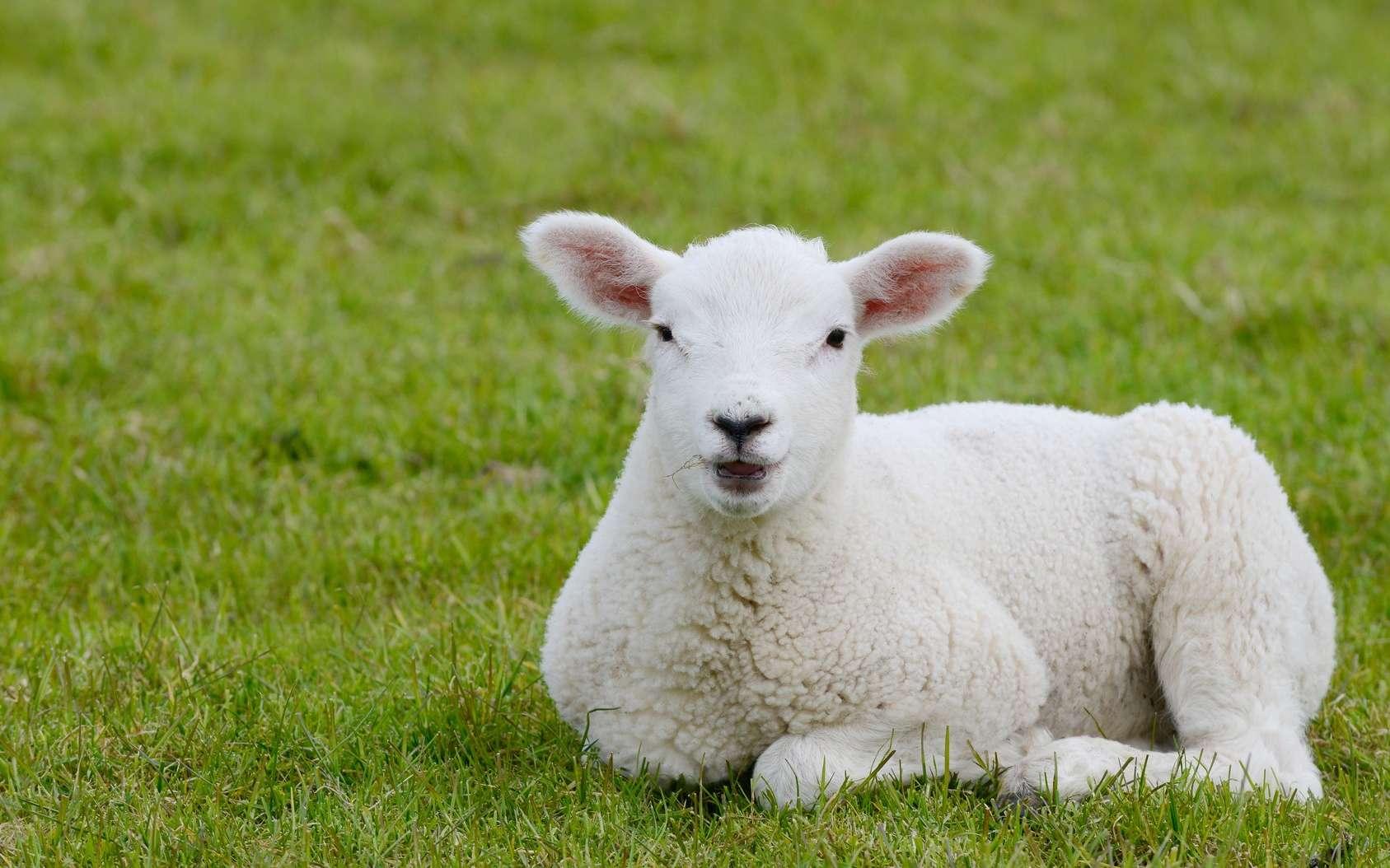 Un hybride homme-mouton pour fabriquer des organes humains, est-ce une bonne idée ? © Carola Schubbel, Fotolia