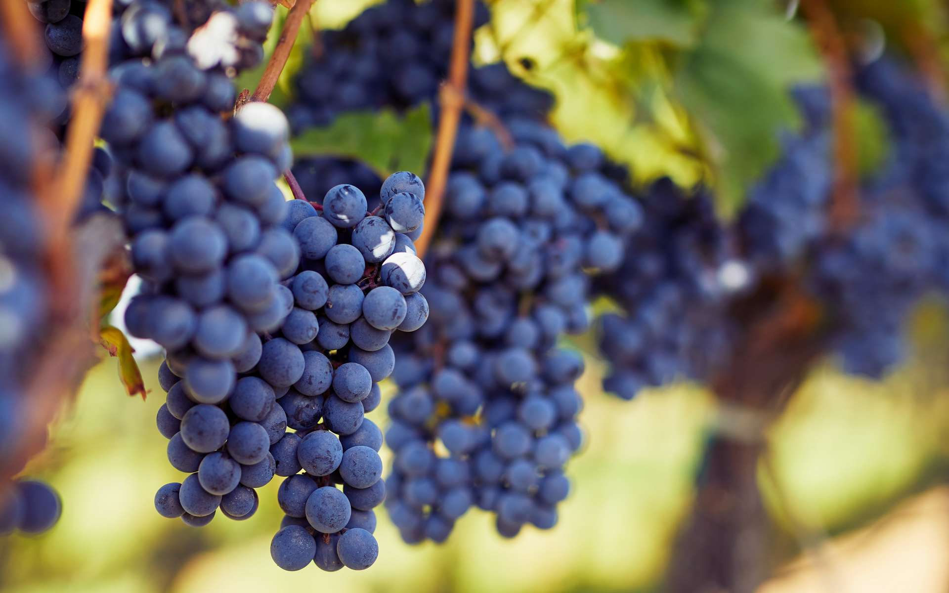 Le raisin rouge pousse sur des ceps qui sont vendangés à l'automne. © Rostislav Sedlacek, Adobe Stock