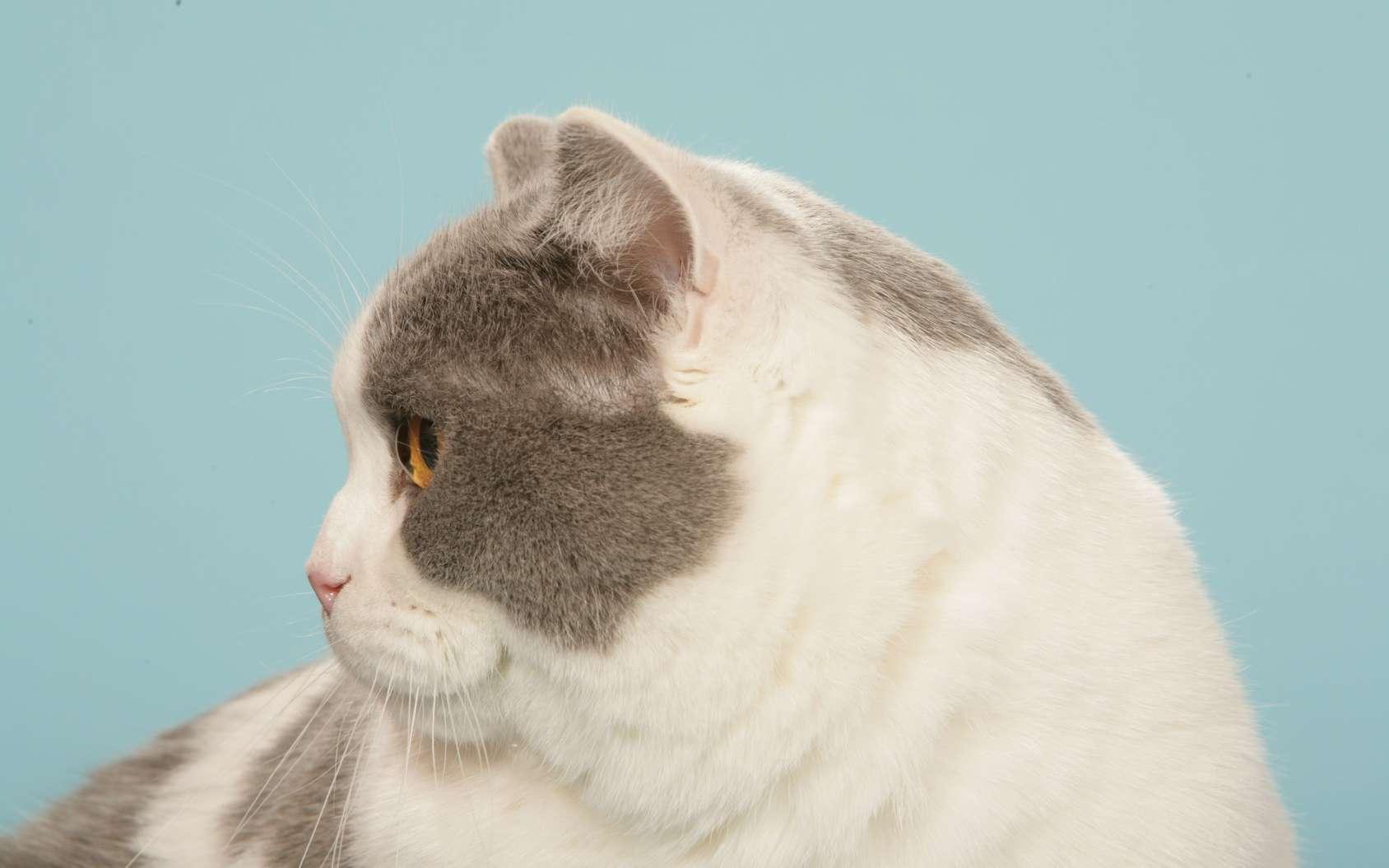 L'obésité touche aussi nos animaux domestiques. © CALLALLOO CANDCY, Fotolia