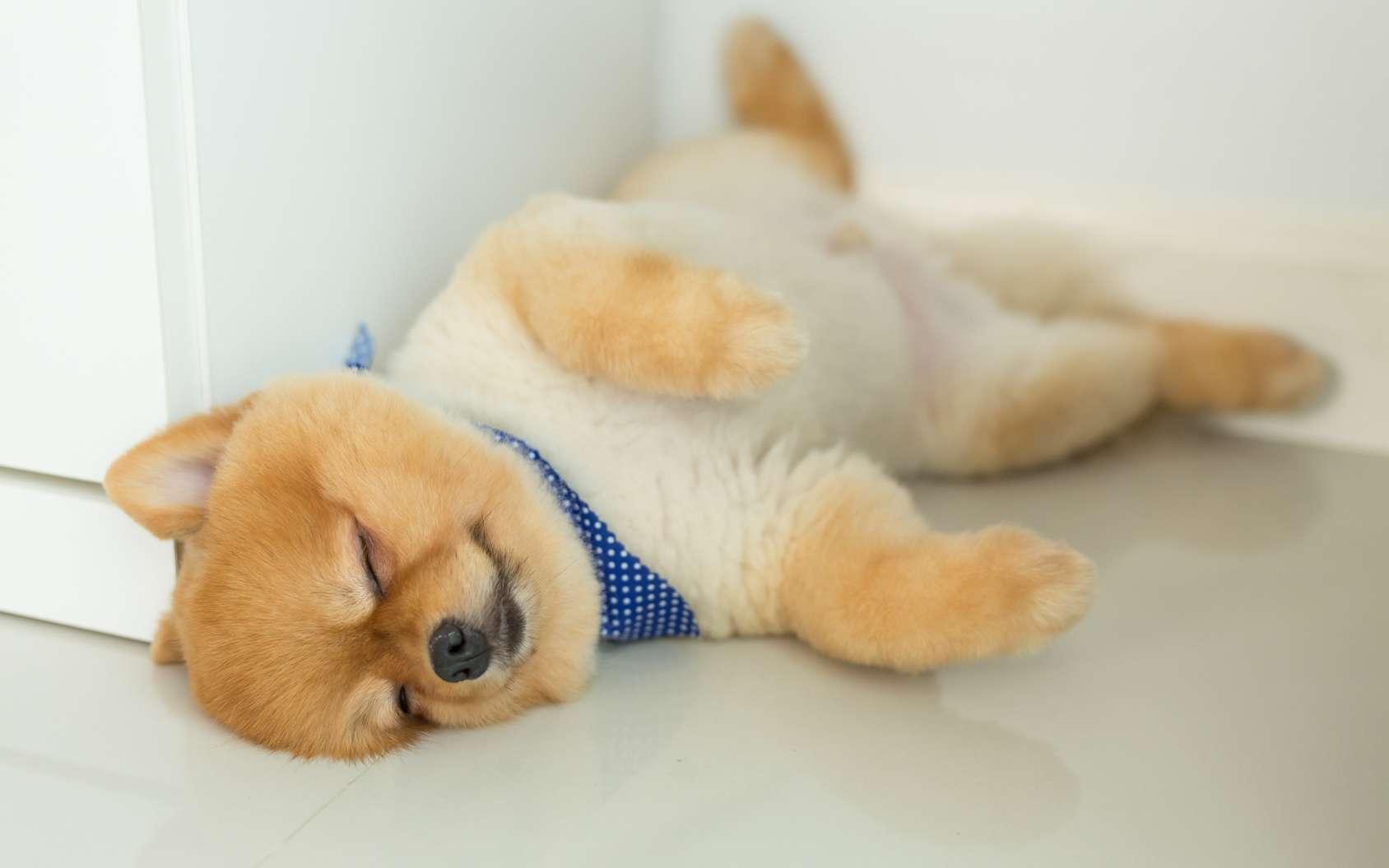 Les chiens passent beaucoup de temps à dormir et les phases du sommeil sont semblables à celles d'autres mammifères. C'est à ce moment que se consolident les souvenirs récents. © sutichak, Fotolia