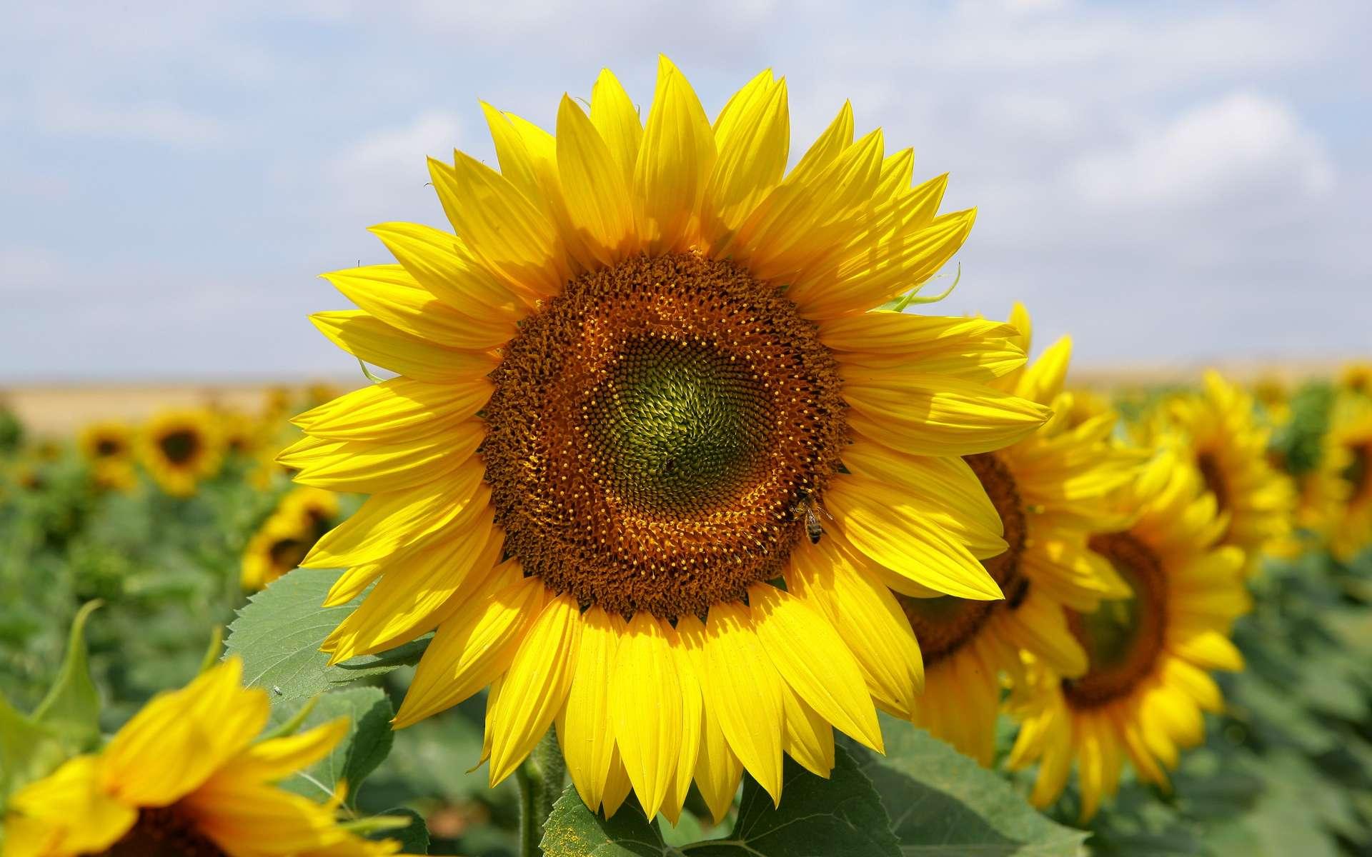 Le tournesol est utilisé pour ses bienfaits en cuisine comme en phytothérapie. © Phovoir