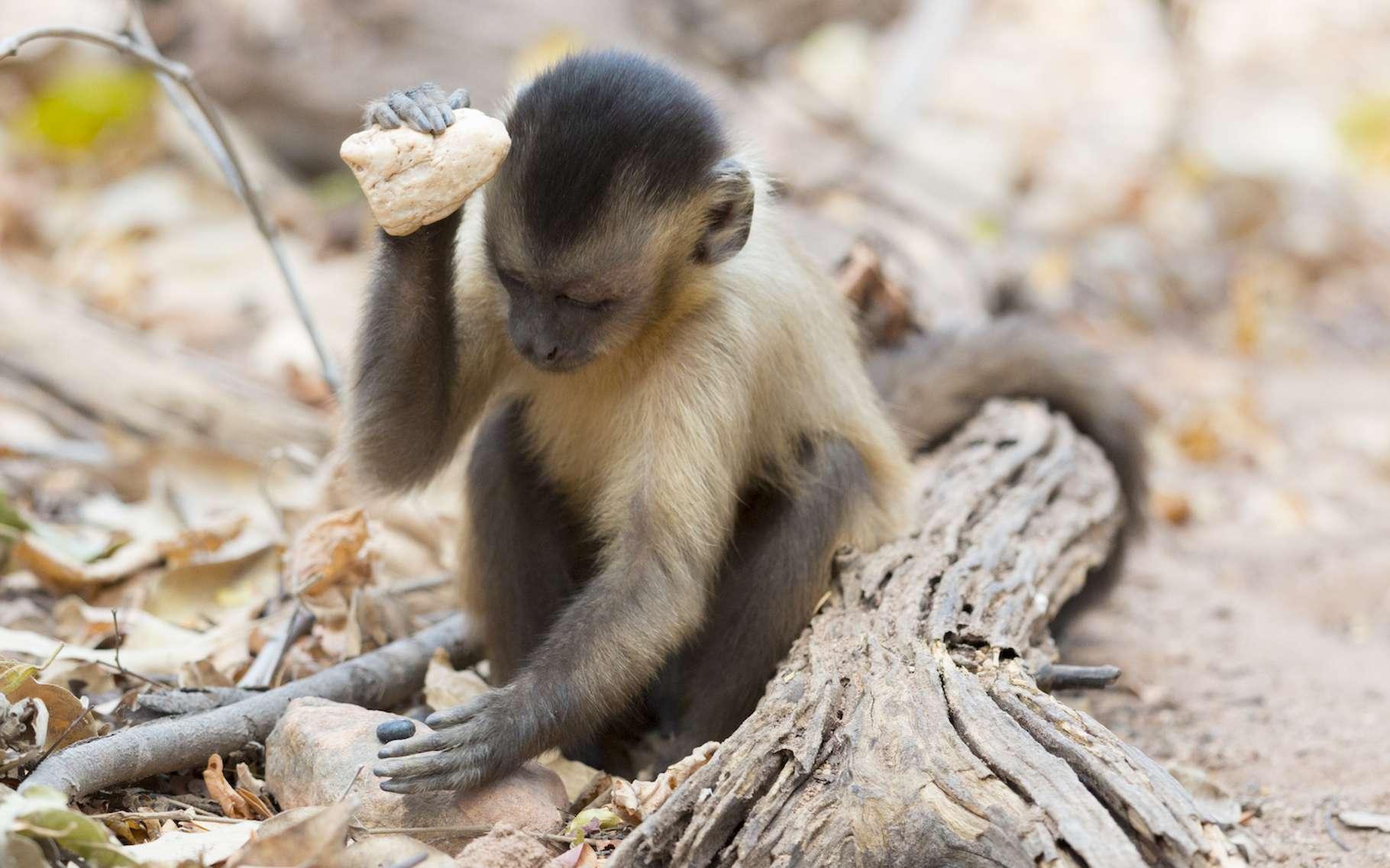 Des fouilles indiquent que les singes capucins utilisent des pierres comme outils de pilonnage depuis 3.000 ans, avec des variations dans la taille et le poids de l'outil. © Tiago Falotico, Wikimedia, CC By-4.0