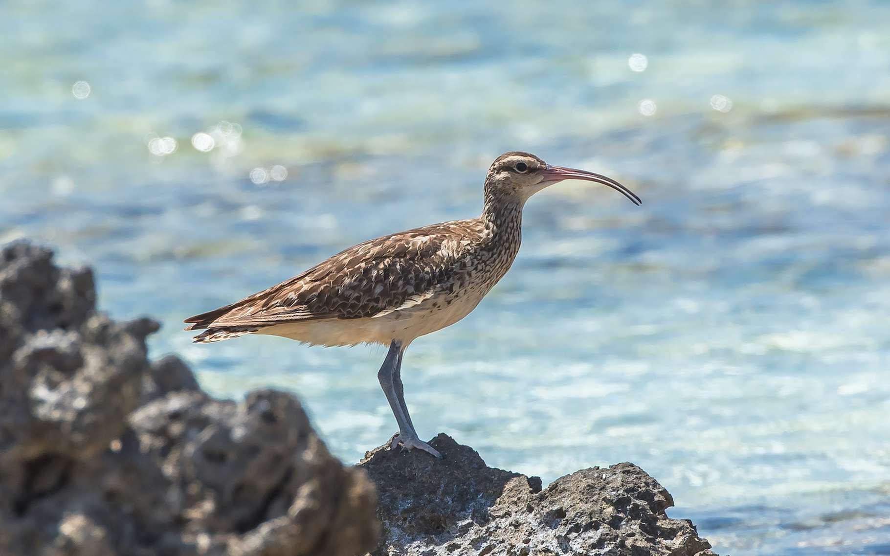 Le Courlis d'Alaska est l'un des oiseaux que les chercheurs du programme Kivi Kuaka ont choisi de suivre. Ils espèrent que ses mouvements les aideront à mettre en place un système d'alerte précoce pour les cyclones et les tsunamis. © Pascale Gueret, Adobe Stock