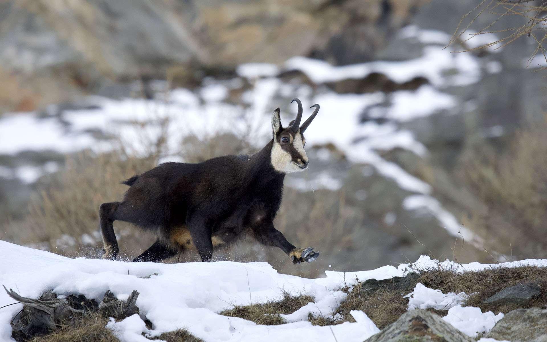 Ce chamois mâle est en pelage d'hiver presque noir. Ses cornes fines ont un crochet plus fermé que celles des femelles. Notre calendrier annuel est dicté par la saison des amours du chamois, dont nous ne manquons aucun rendez-vous depuis une trentaine d'années, tant nous nous émerveillons de leur aisance incroyable en montagne. En novembre et début décembre, période du rut, les mâles se lancent dans des poursuites effrénées pour chasser les concurrents ou rabattre une femelle. Ils perdent de leur vigilance naturelle et, dans leur excitation, s'approchent en pleine course plus facilement du photographe immobile. Le chamois est à l'aise dans tous les terrains. Une fine membrane entre les deux doigts de ses sabots lui permet une meilleure portance sur la neige que le bouquetin. Des coussinets antidérapants lui assurent une bonne adhérence sur le rocher.© Anne Lapied, tous droits réservés