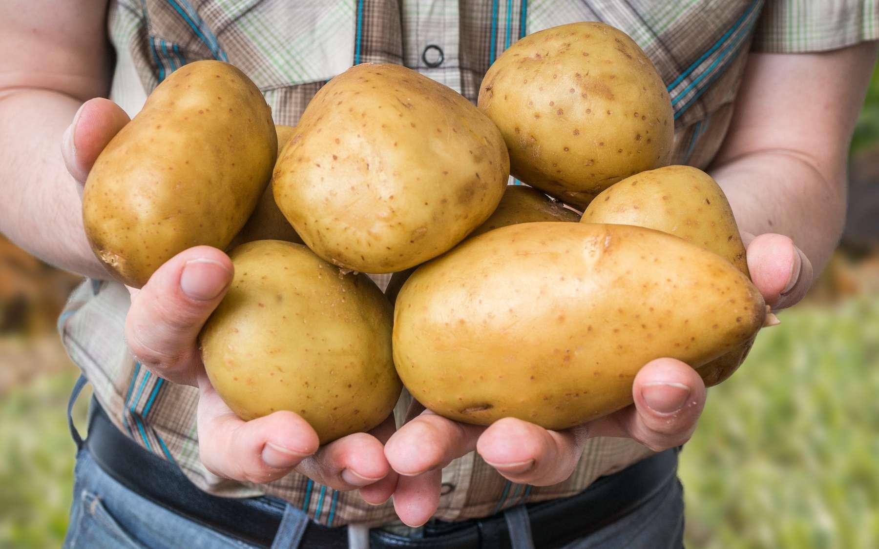 Des pommes de terres dopées avec un gène humain produisent 50 % de tubercules en plus. © vchalup, Adobe Stock