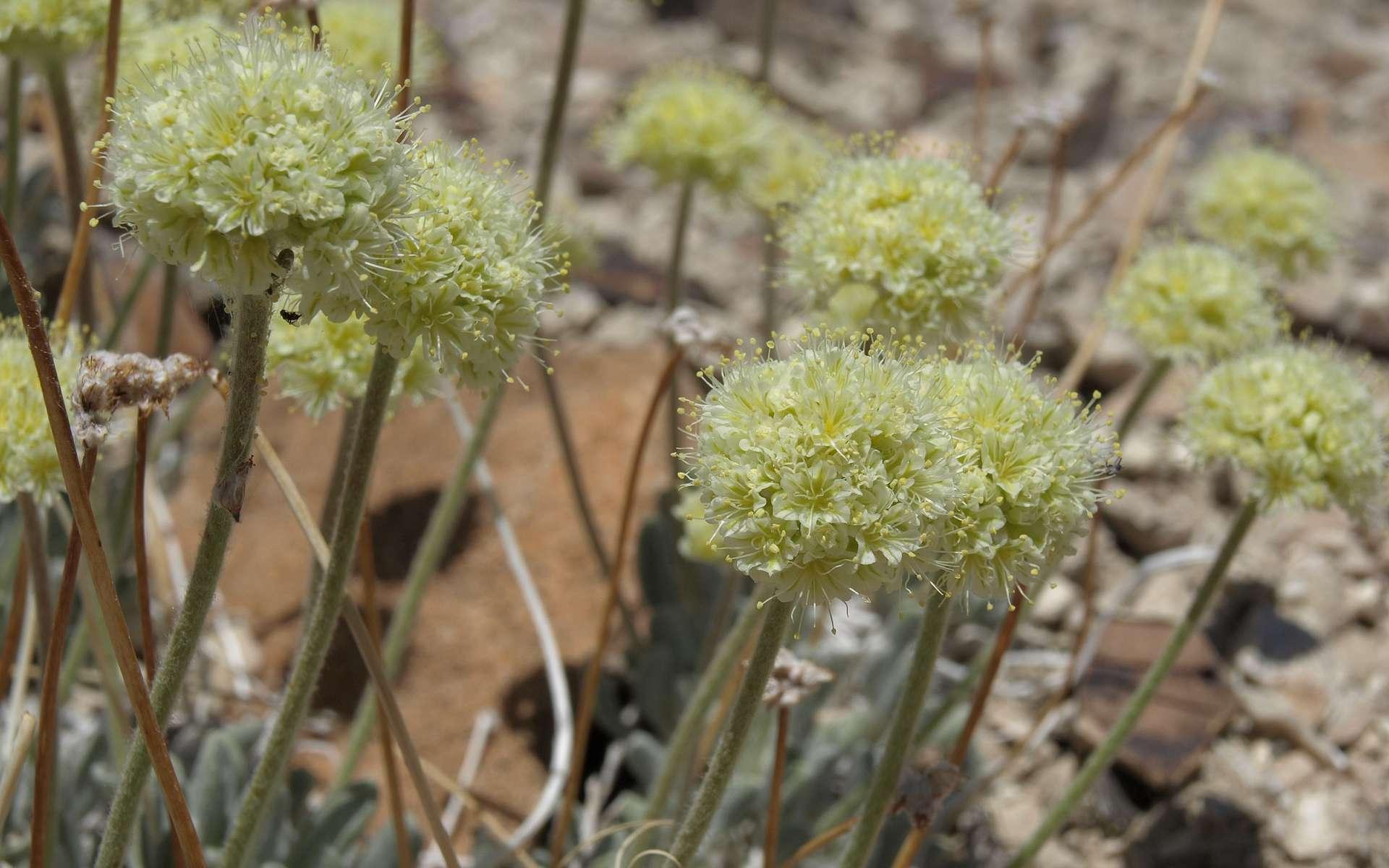 Le sarrasin de Tiehm (Eriogonum tiehmii), une espèce rare en voie de disparition. © Jim Morefield, Flickr