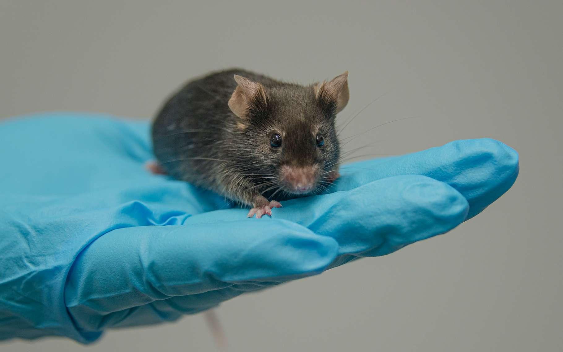 Des chercheurs de l'université de Yamanashi (Japon) affirment que le sperme de souris lyophilisé est très résistant aux rayonnements auxquels sont exposés les astronautes dans l'espace. © neurobite, Adobe Stock