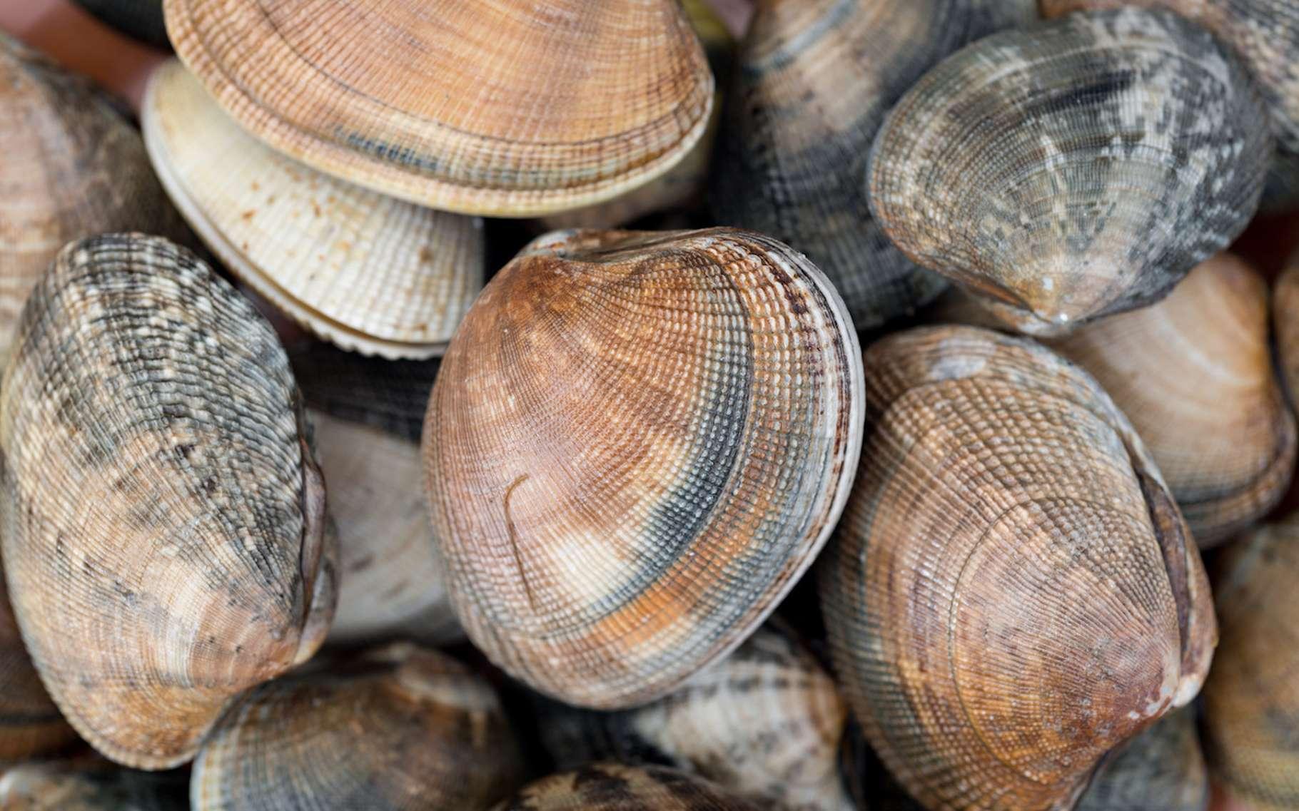Une étude comparative de sédiments conduit des chercheurs à penser que les palourdes et autres mollusques marins sont responsables d'une quantité qui pourrait devenir non négligeable de méthane émis dans l'atmosphère. © gitanna, Fotolia
