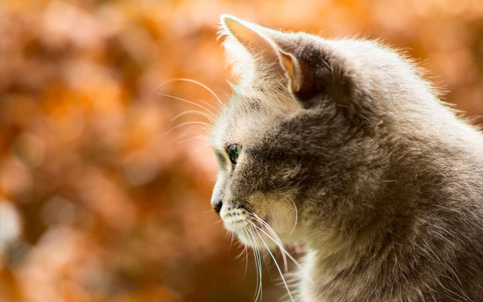 Le chat est un félin. © 110210870614, Fotolia