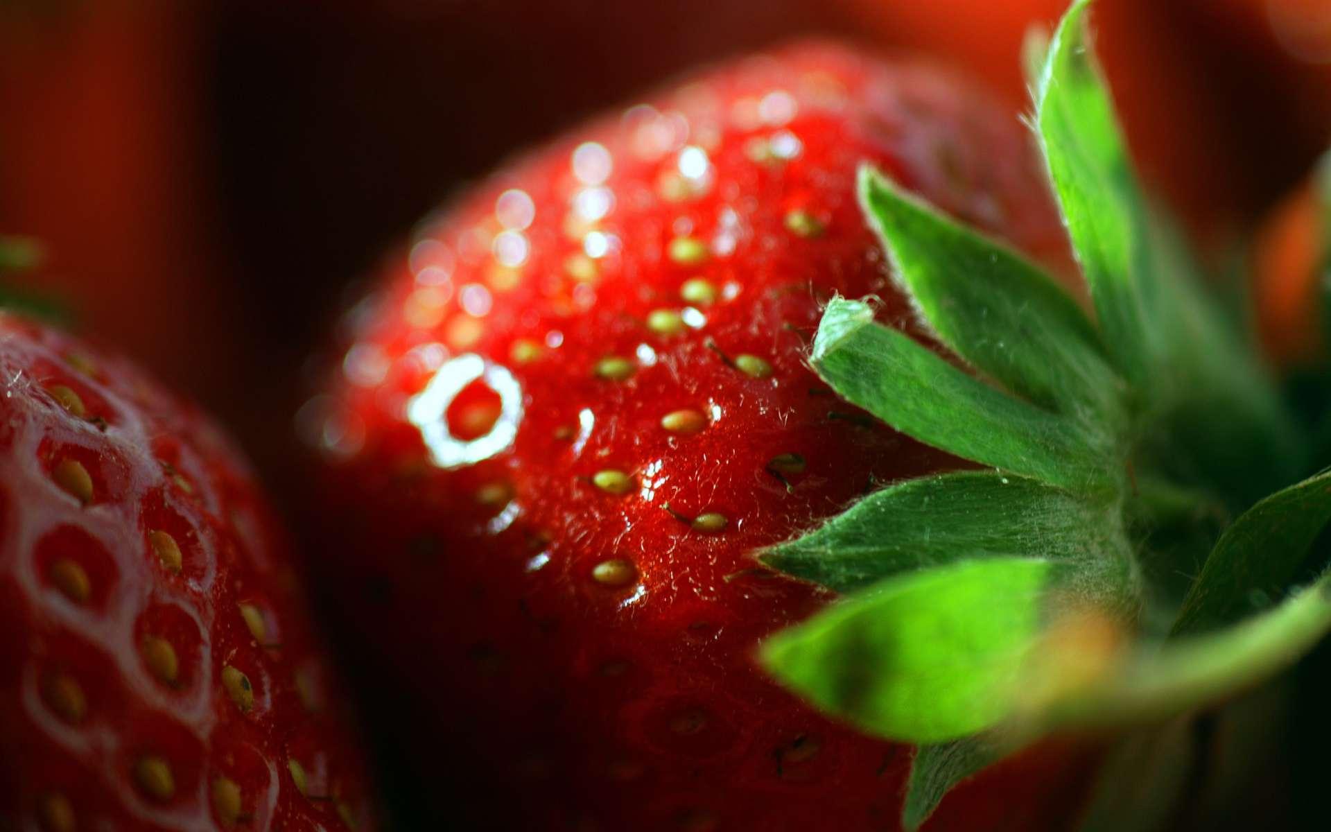 Comme le cranberry, la fraise contient des antioxydants, connus sous le nom de proanthocyanidines, qui lui confèrent ses bienfaits pour lutter contre les infections urinaires. © Phovoir