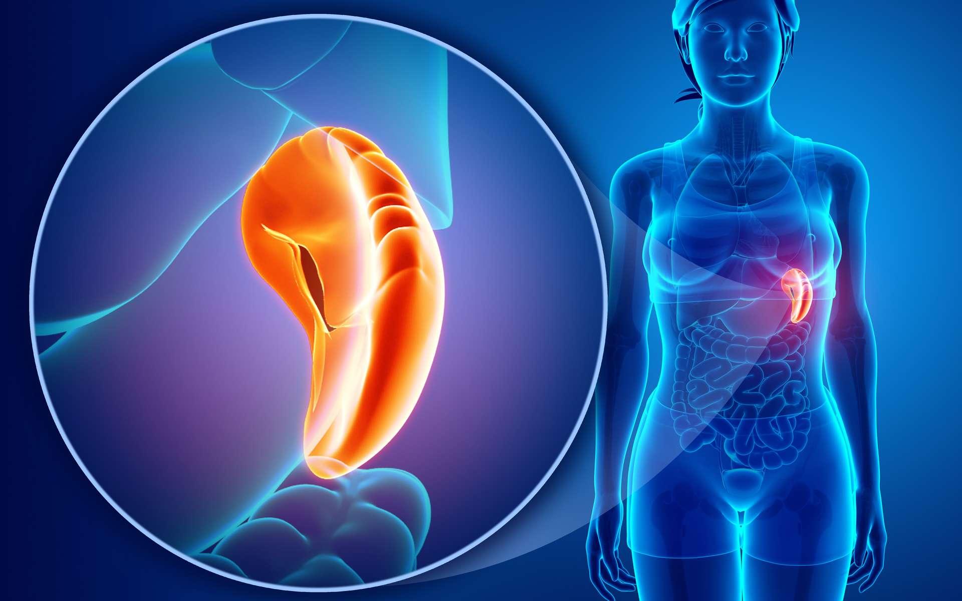 Anatomie de la rate humaine. © pixdesign123, Adobe Stock