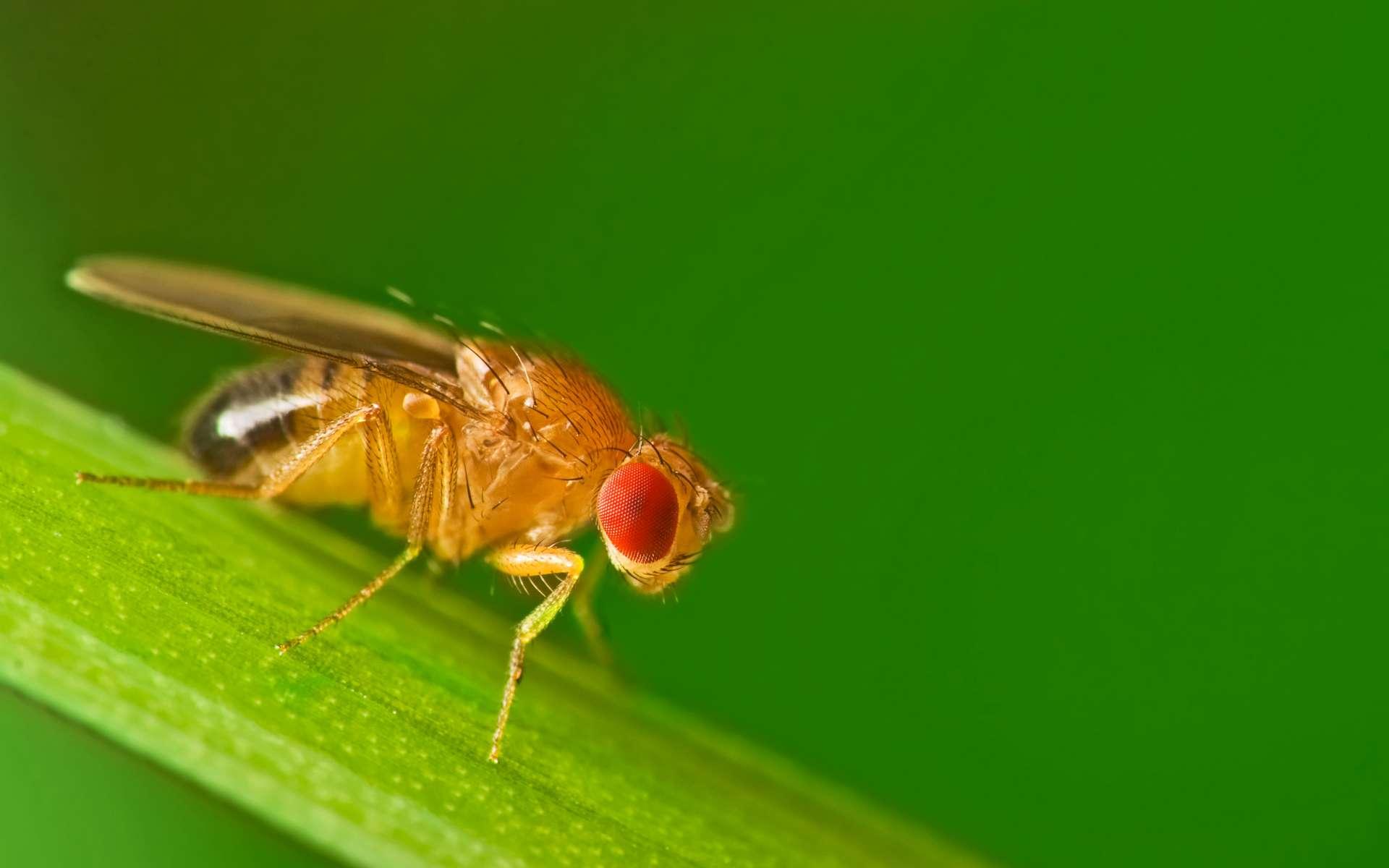 Drosophila melanogaster, autrement nommée « mouche du vinaigre », est la mouche la plus courante dans les laboratoires. © Studiotouch, Adobe Stock