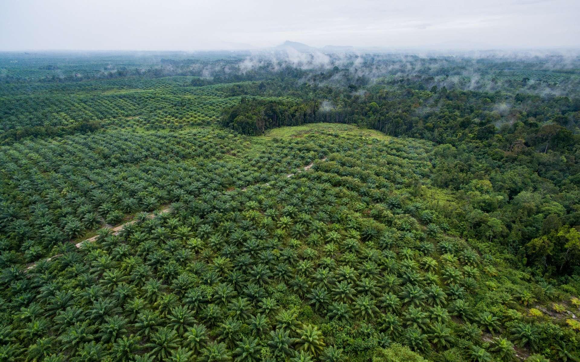 En Malaisie, on teste des palmiers à huile nains pour réduire l'impact des plantations sur la forêt tropicale. © Nanang Sujana/CIFOR, Flickr, CC By-NC-ND 2.0