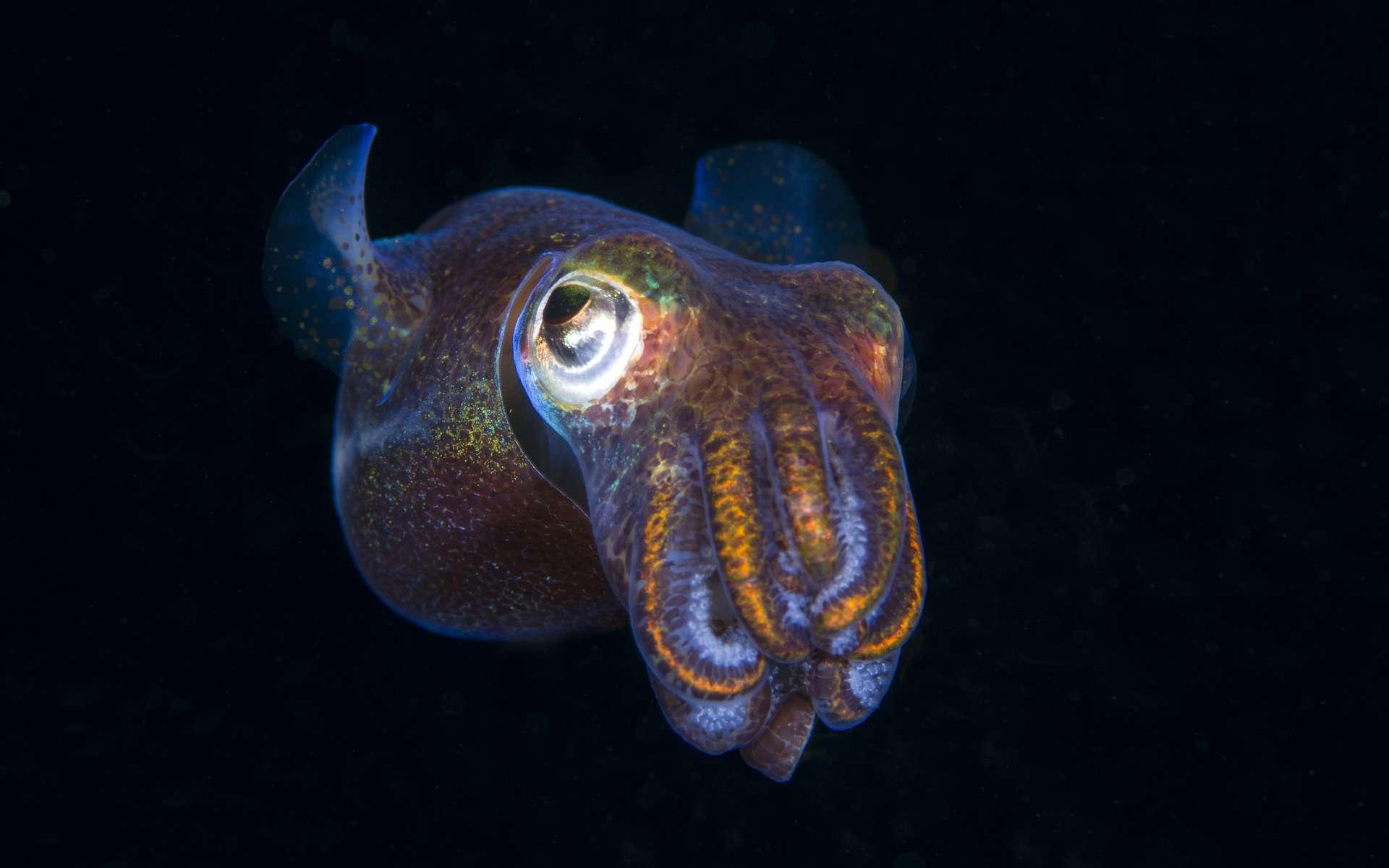 Calamar Bobtail luminescent en Indonésie. © Adobe Stock