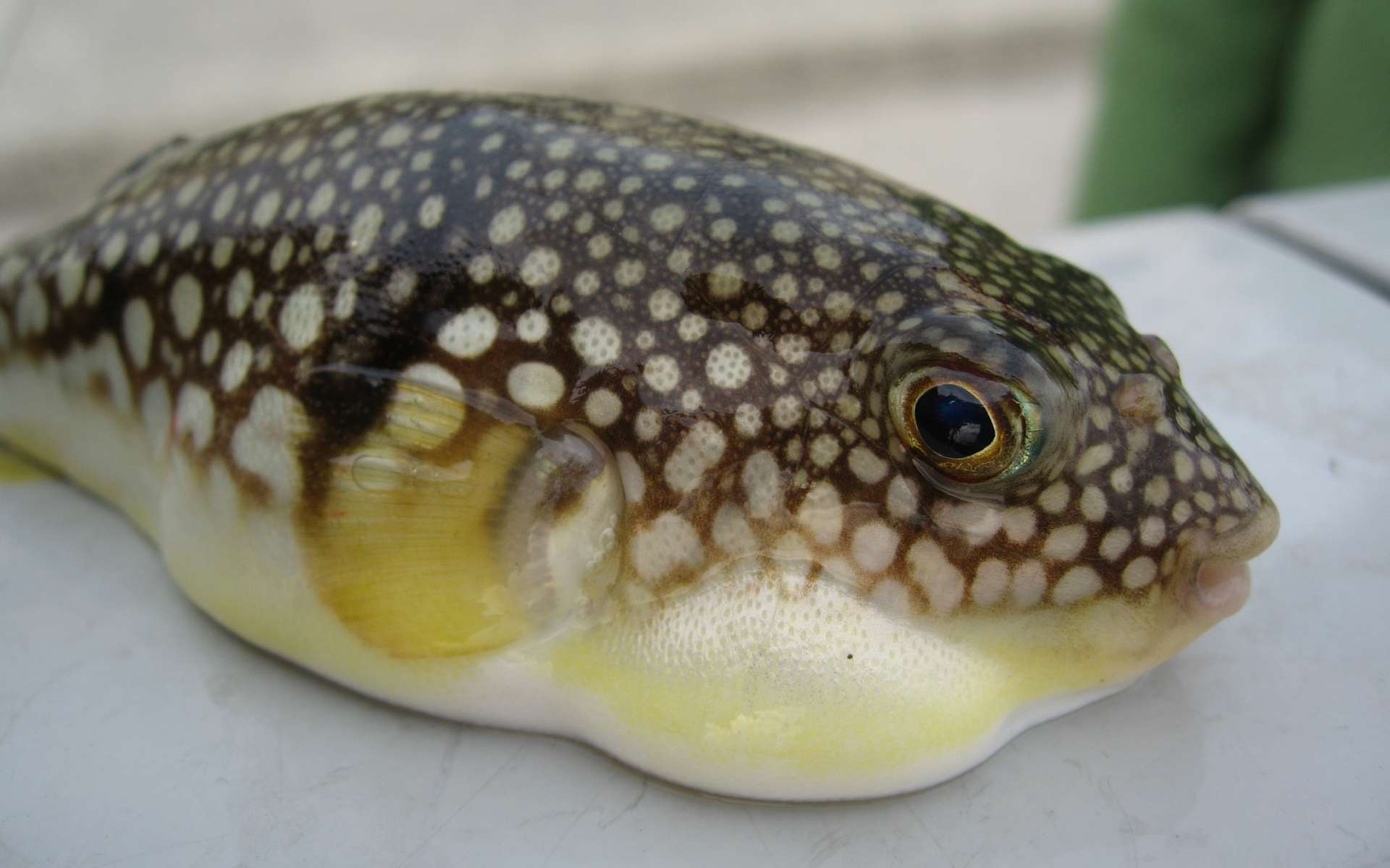 Le fugu est un poisson japonais contenant un poison très violent, la tétrodotoxine. © Jim, Wikipédia