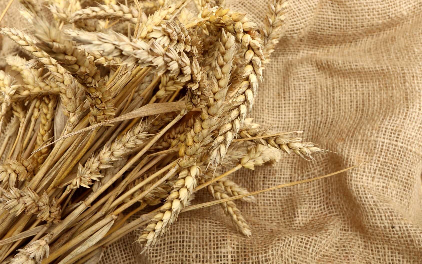 Le blé, qui contient du gluten, est un des aliments à proscrire de l'alimentation des personnes atteintes par la maladie cœliaque. © nightsphotos, fotolia