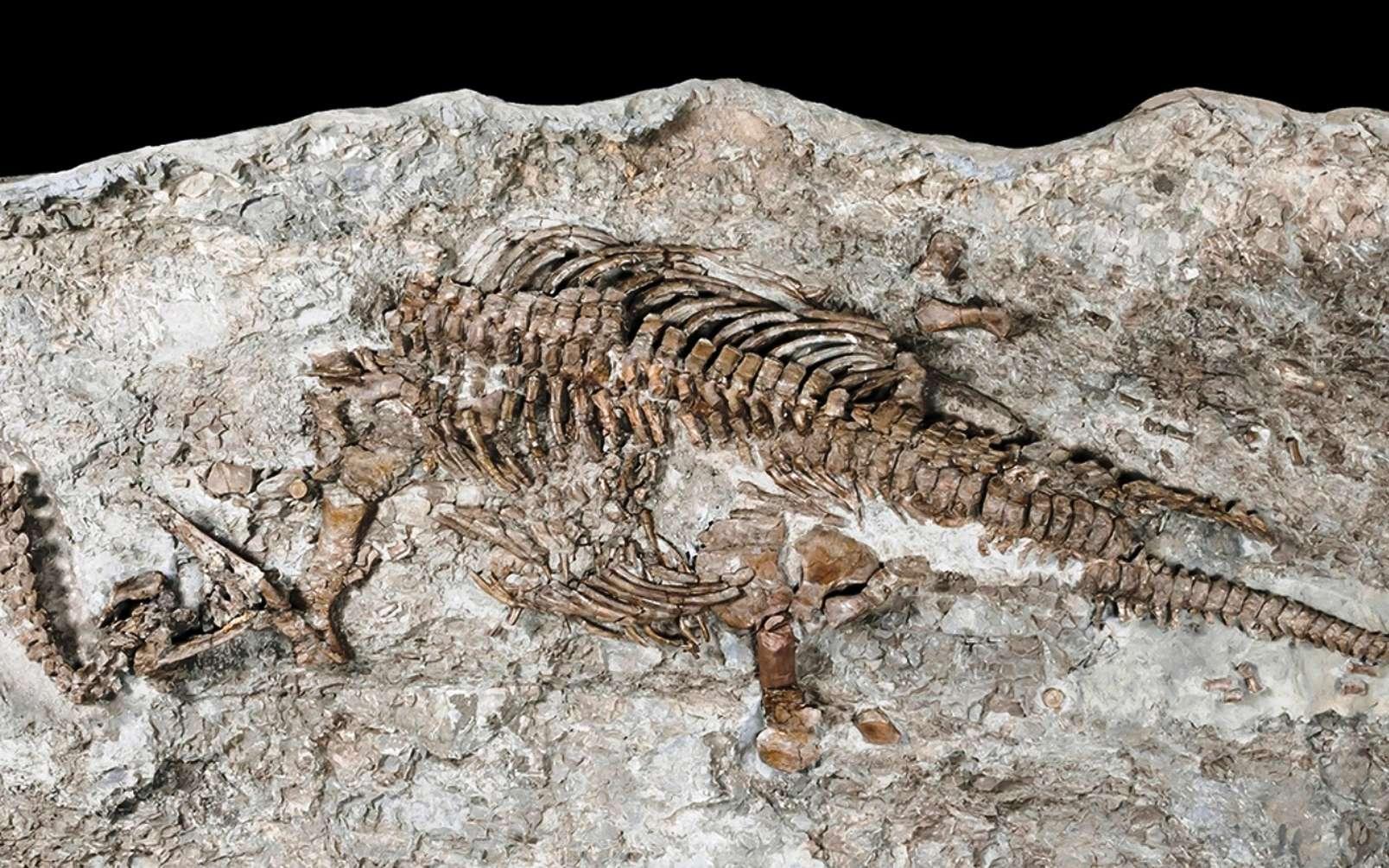 Le plus ancien plésiosaure découvert avait le sang chaud. Ici, le squelette de Rhaeticosaurus mertensi. © Georg Oleschinski