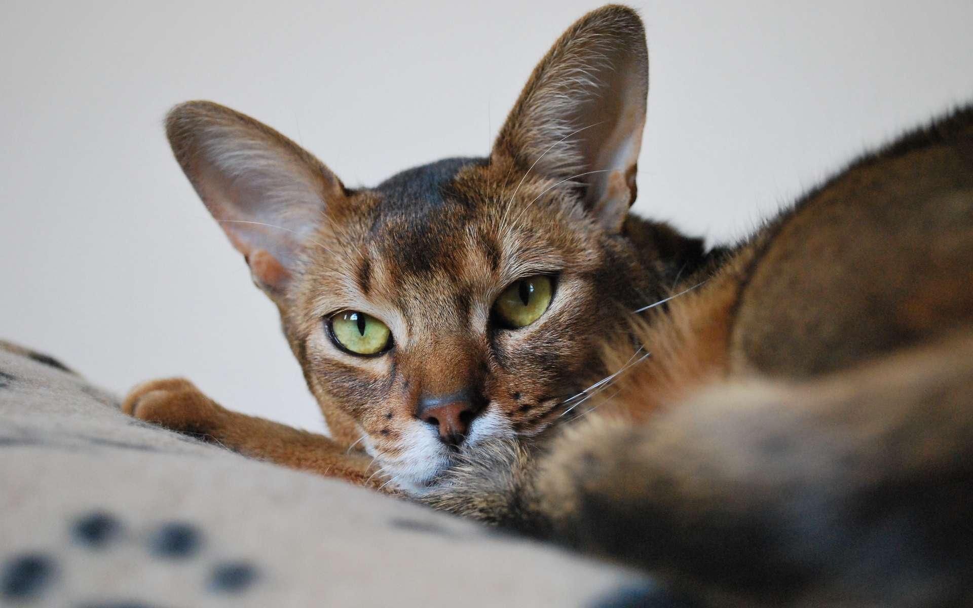 Un chat abyssin est-il hypoallergénique ? © Caroline Beaudoin, Flickr