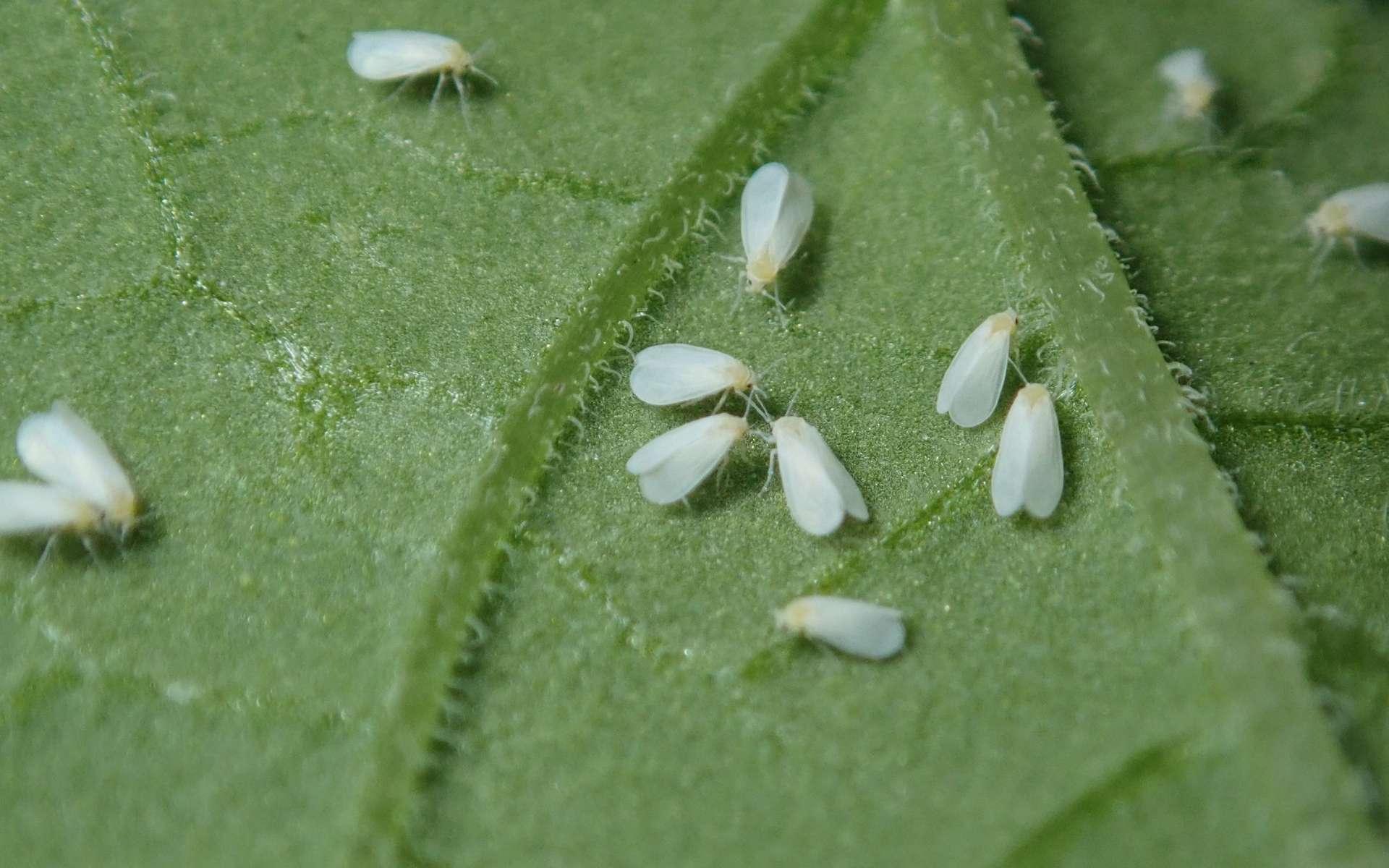 L'aleurode du tabac (Bemisia tabaci) est un petit insecte causant des ravages considérables aux cultures. © astrobirder, iNaturalist