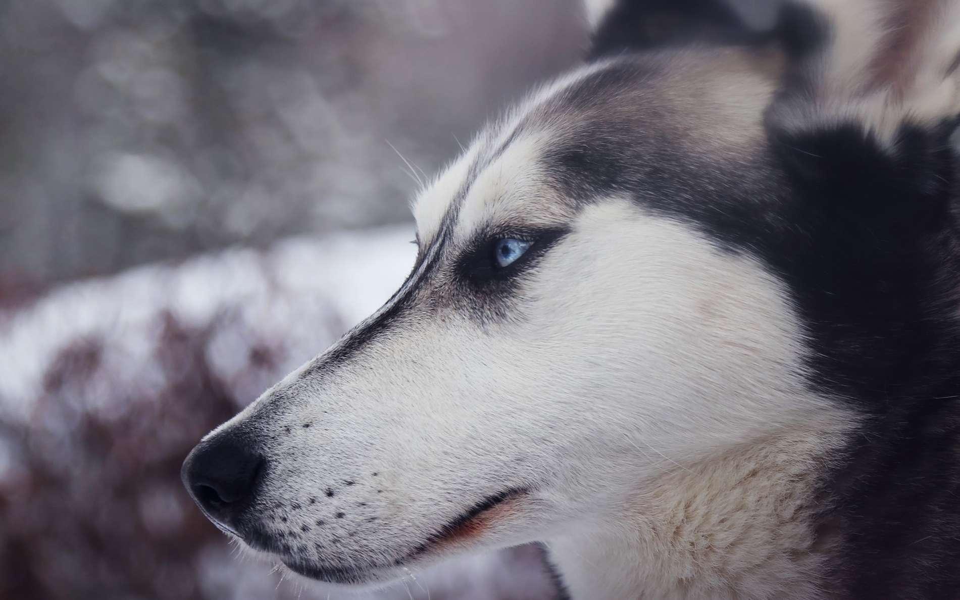 Le husky peut avoir les yeux bleus. © Pexels, Pixabay