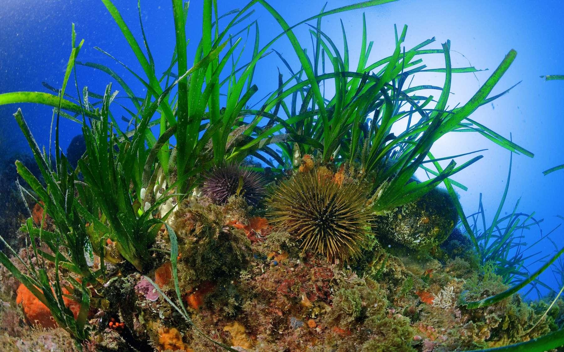 La Méditerranée abrite des écosystèmes exceptionnels mais menacés, comme ici un herbier à posidonie. Pour protéger la mer et sa biodiversité de la pollution et des risques liés aux activités humaines (plongée, pêche, etc.), la Communauté d'agglomération Var Estérel Méditerranée (Cavem) a mis en place de nombreuses actions, présentées lors de l'évènement Planète Cavem qui s'est tenu du 6 au 19 octobre 2018. © N. Barraque
