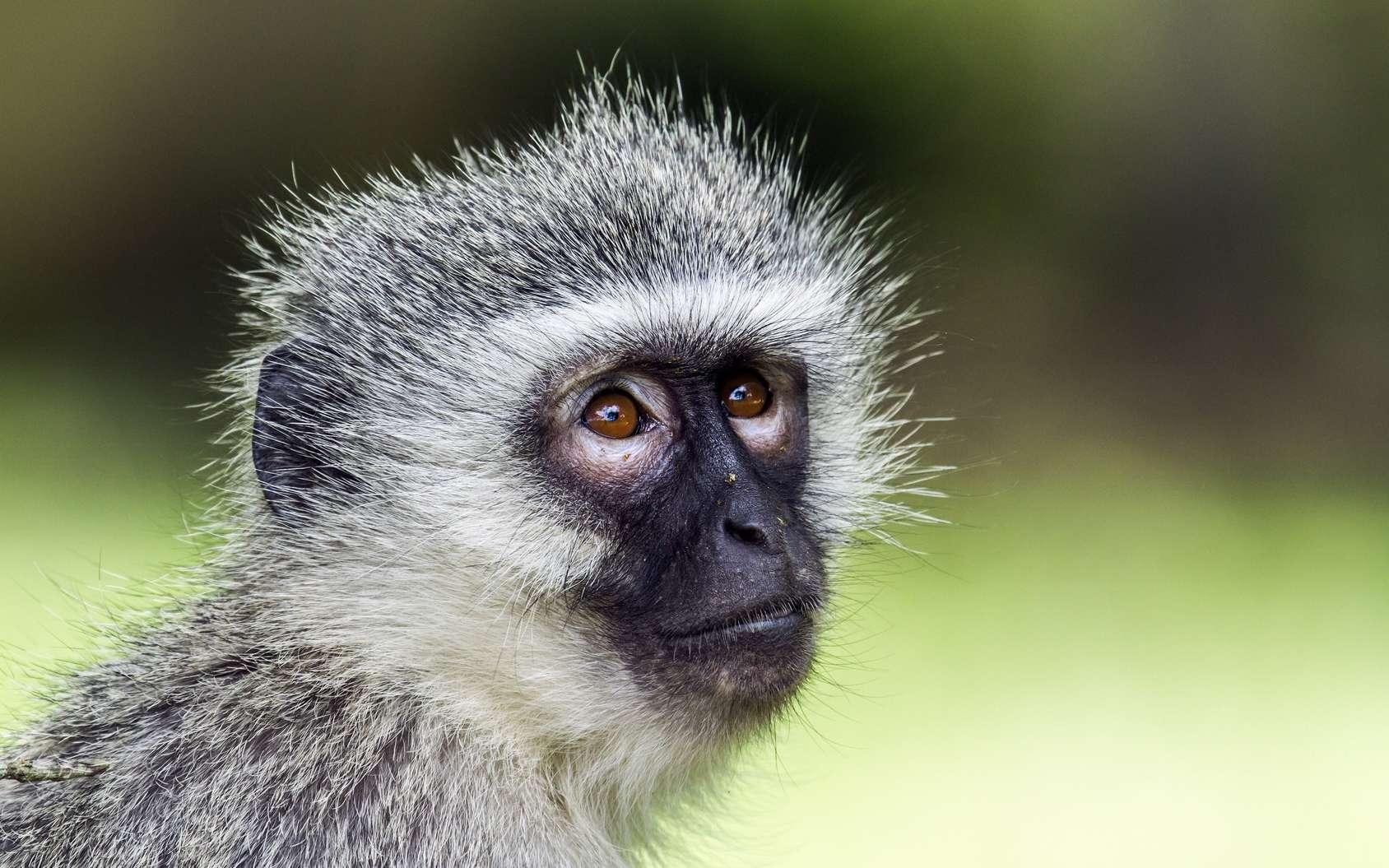 Le vervet est un singe de la famille des cercopithécidés, du genre Chlorocebus. Comme d'autres singes qui ne sont du genre Cercopithecus, il peut être désigné par le teme vernaculaire de cercopithèque. © UTOPIA, Fotolia