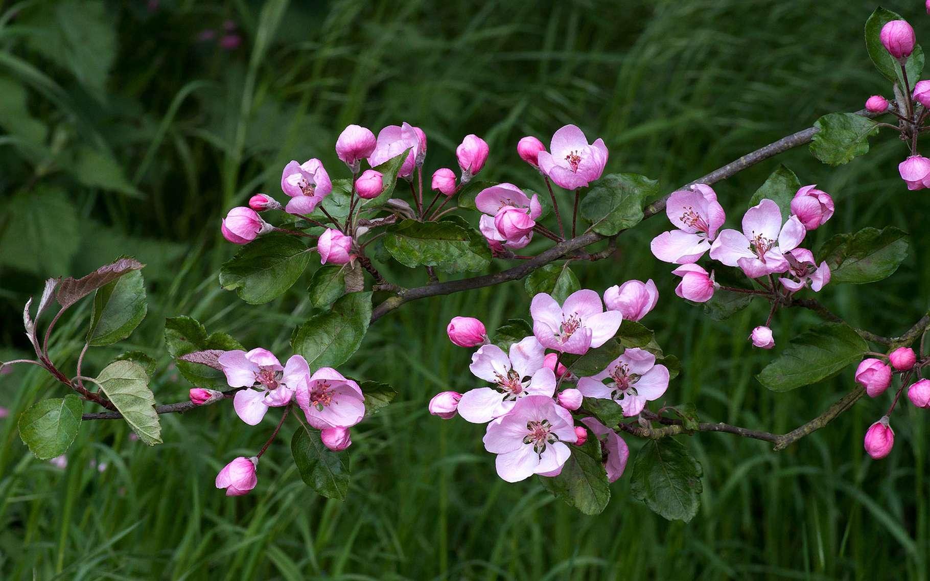 Le pommier d'ornement fait partie de la famille des rosacées. © LBaphoto, Flickr CC by nd 2.0