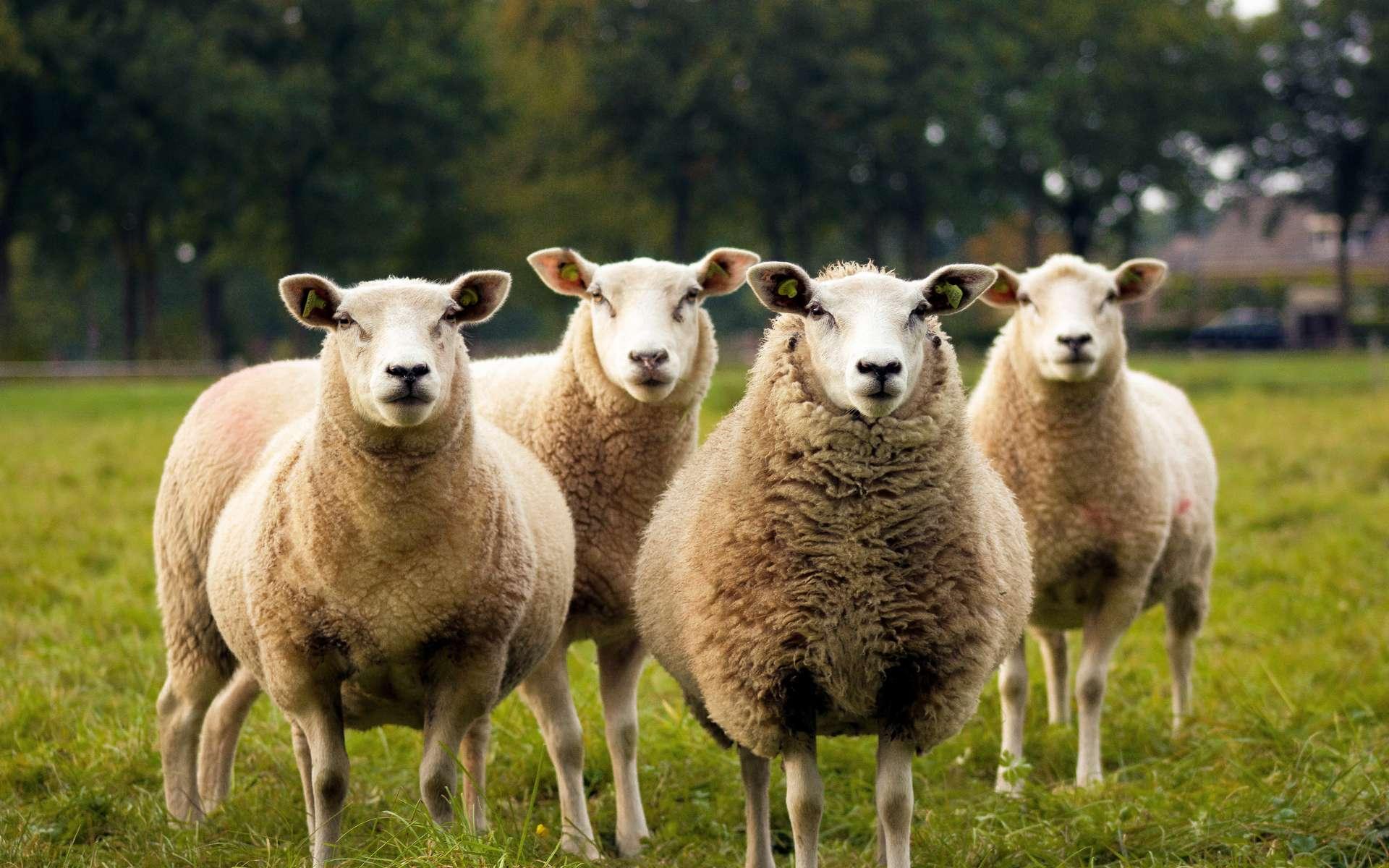 Les ovins émettent jusqu'à 8 kg de méthane par an. © Judith Prins-Unsplash