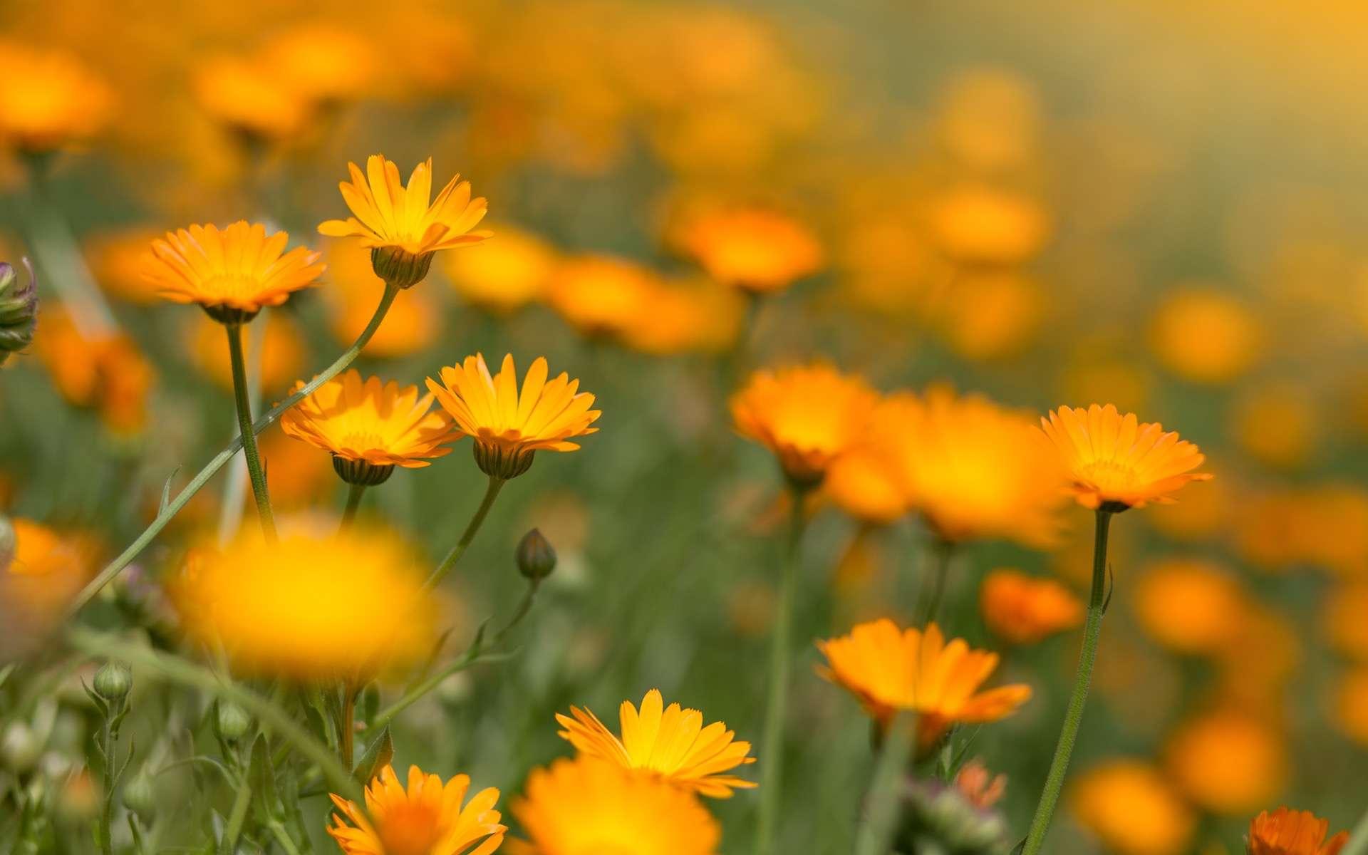 Calendula marigold. © hdesert, Adobe Stock