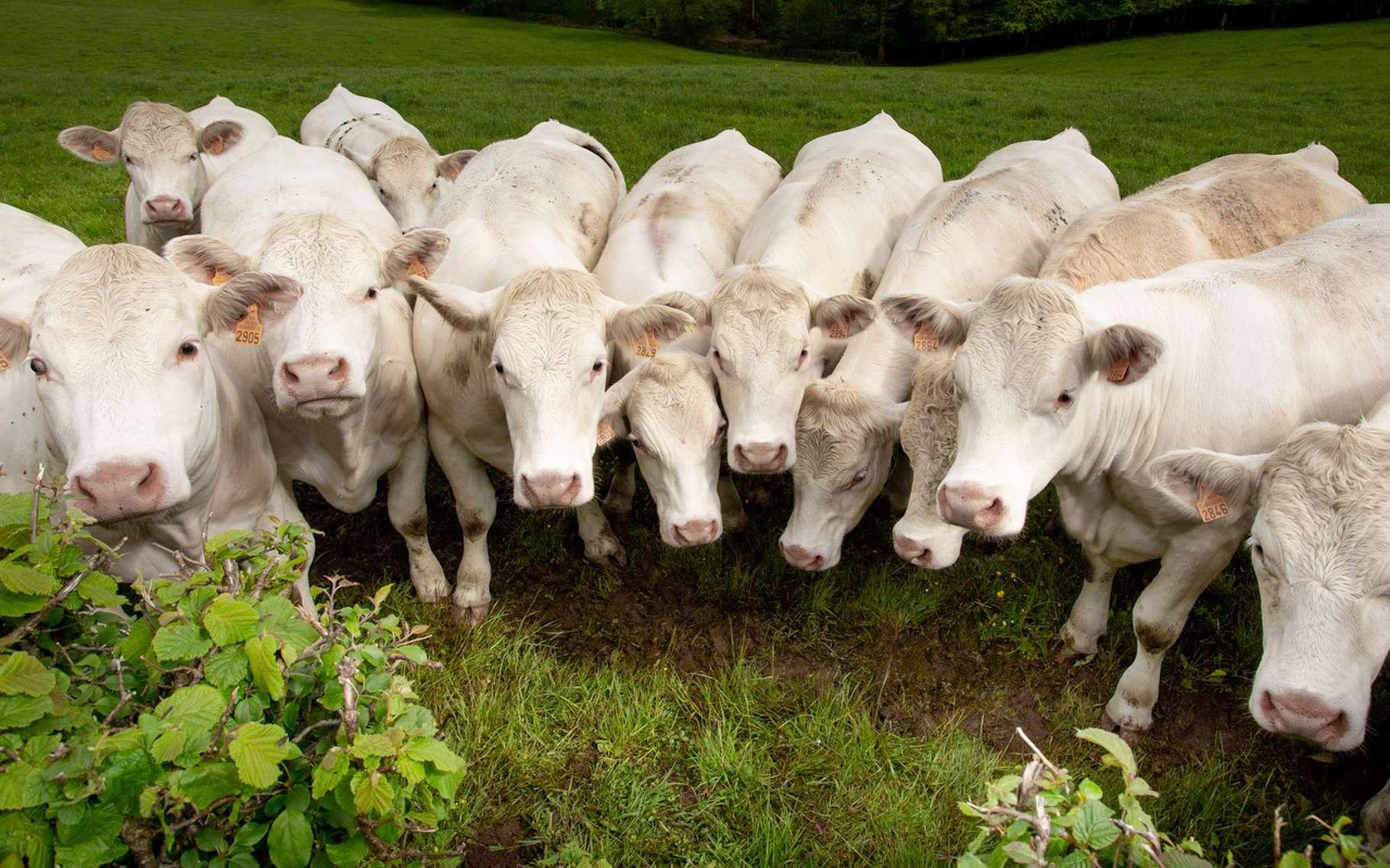 Les activités d'élevage intensif sont souvent pointées du doigt lorsqu'il s'agit de pollution à l'ammoniac. Et une étude révèle aujourd'hui que les émissions mondiales ont été largement sous-estimées. © shocky, Fotolia